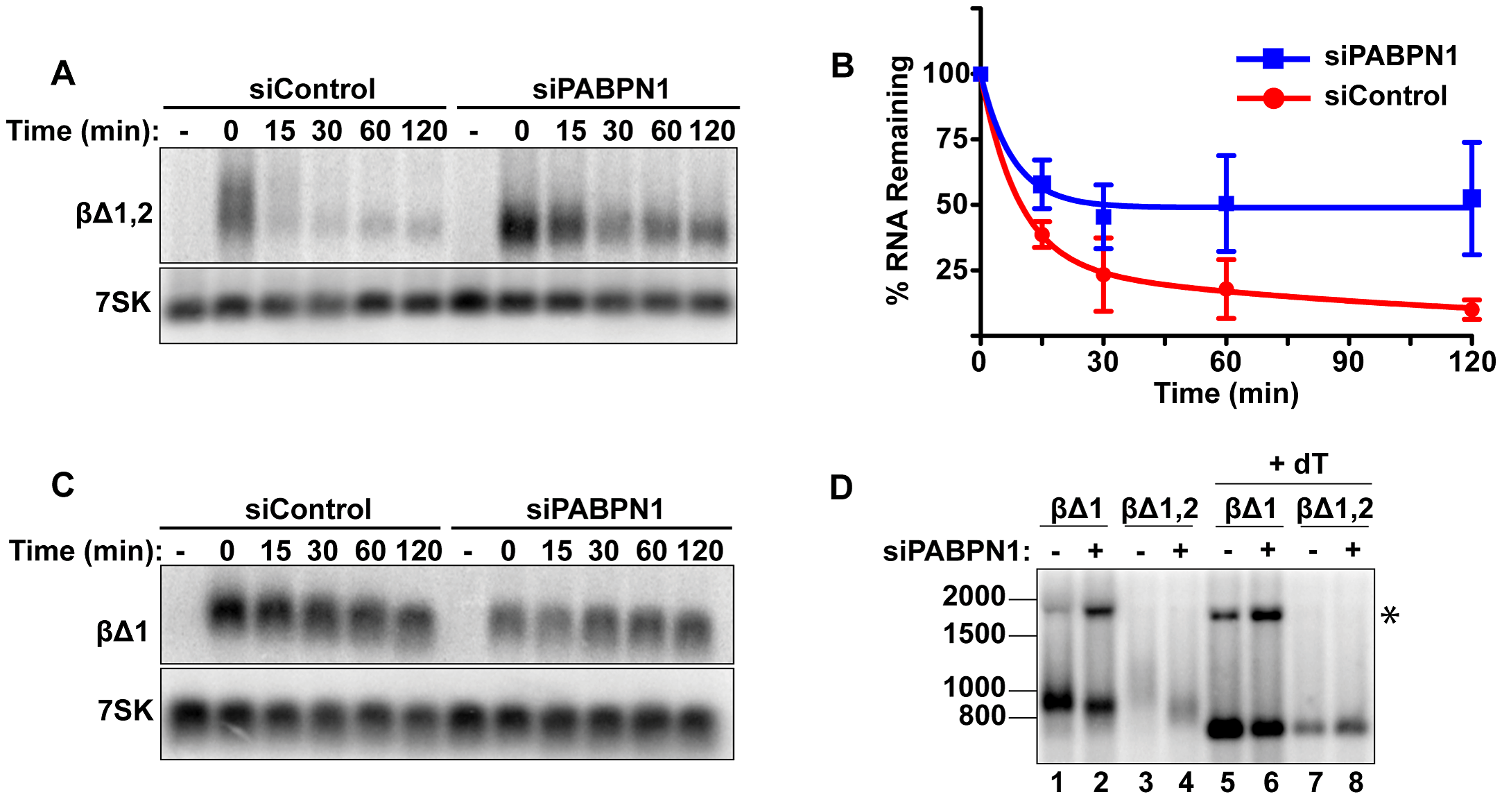 Rapid degradation of intronless β-globin requires PABPN1.
