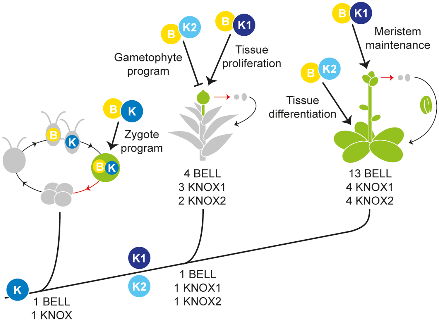 Proposed KNOX functions during land plant evolution.