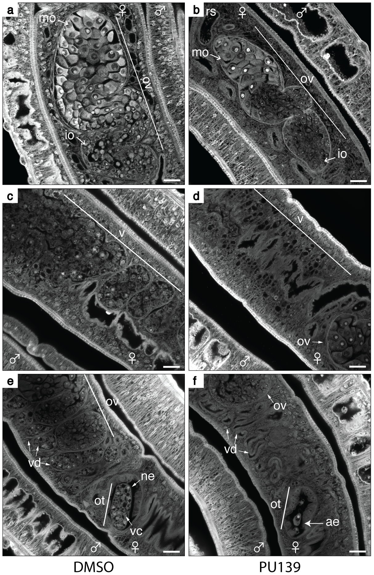 HAT inhibition compromises the reproductive system of female worms.