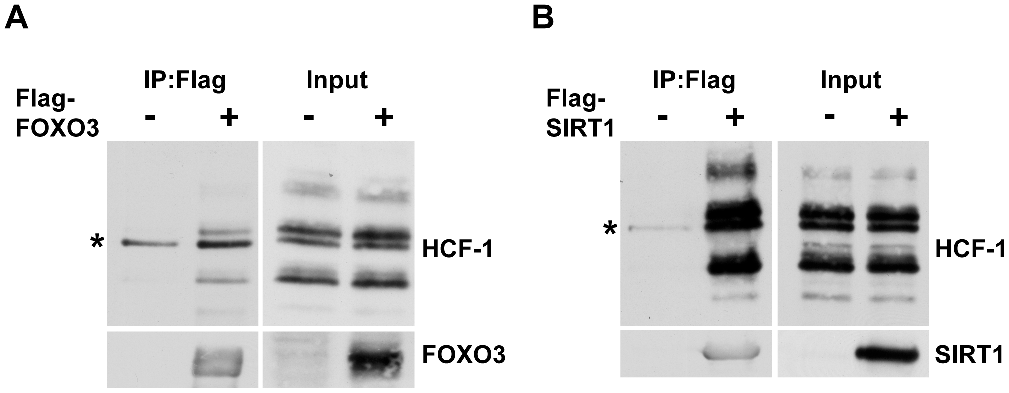 Mammalian HCF-1 physically associates with FOXO3 and SIRT1.