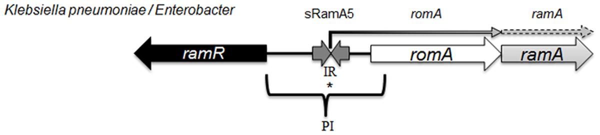 Organisation of the <i>ram</i> locus in <i>Klebsiella pneumoniae / Enterobacter</i> spp.