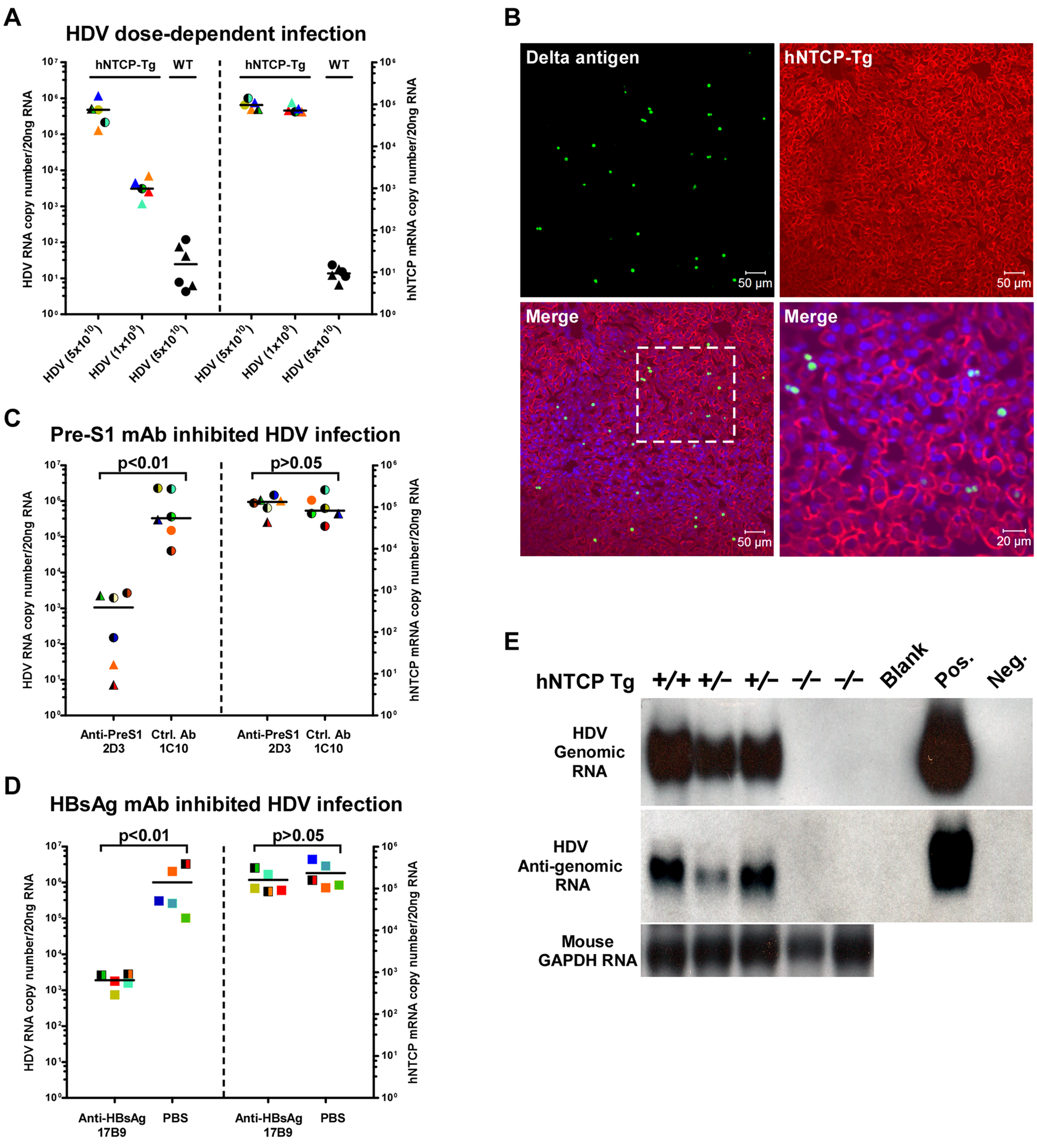 HDV infects human NTCP transgenic mice <i>in vivo</i>.