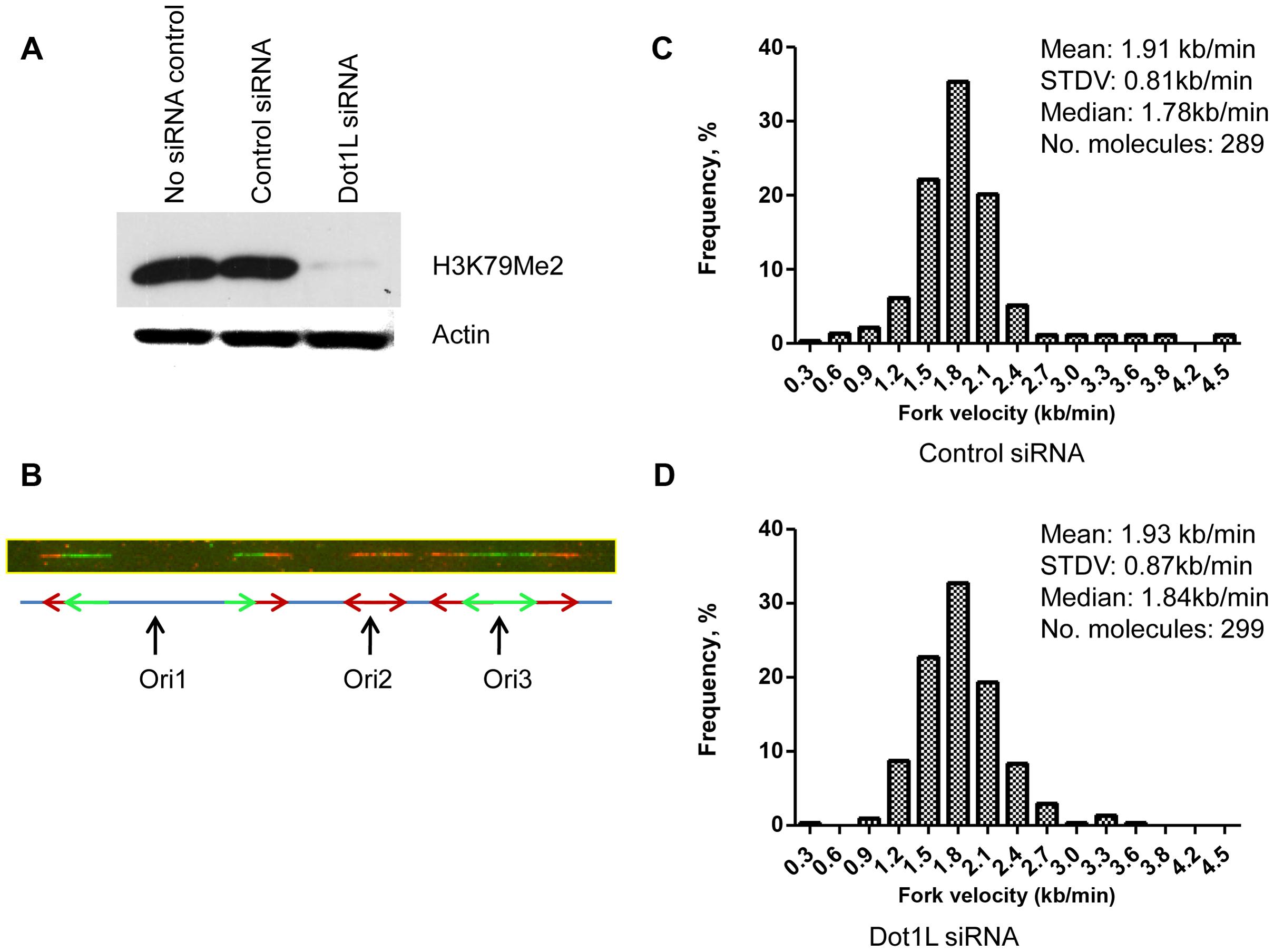Depletion of H3K79 methyltransferase <i>DOT1</i>L does not change replication elongation and initiation rates.