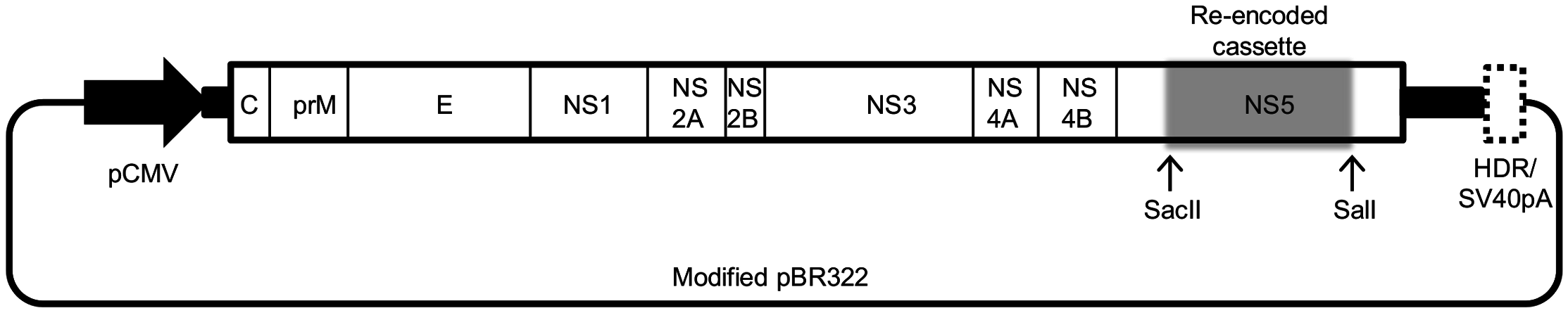 Schematic representation of the cloning vector pTBEV-32.11 ic (WT_IC).