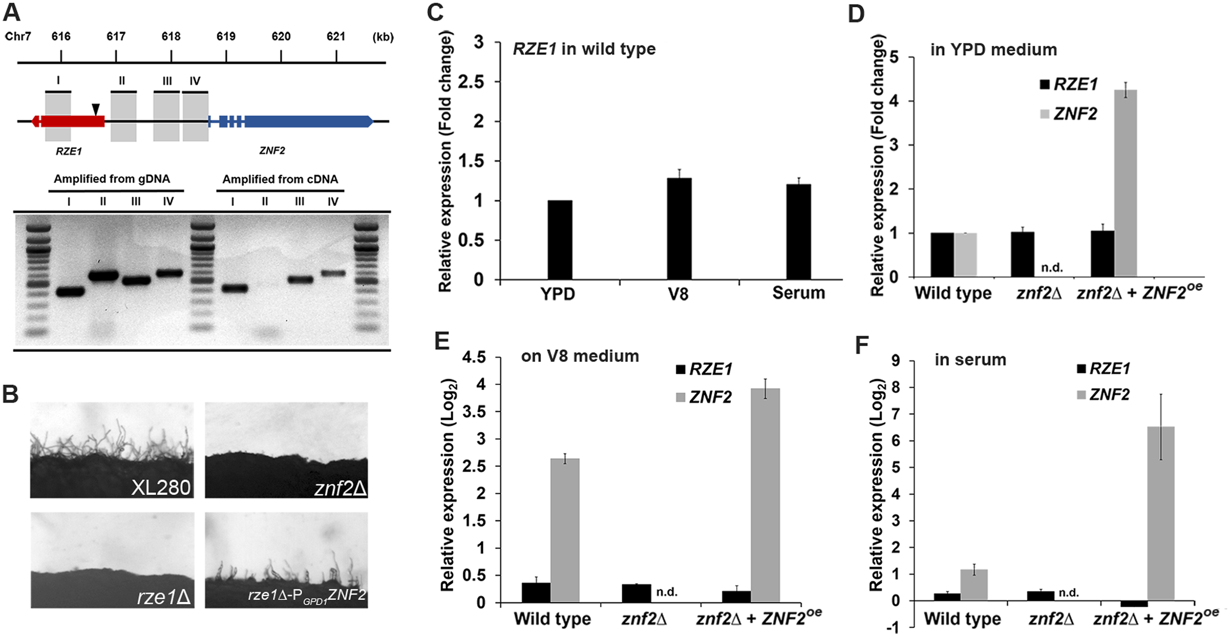 <i>RZE1</i> is an independent gene and it functions upstream of <i>ZNF</i>.