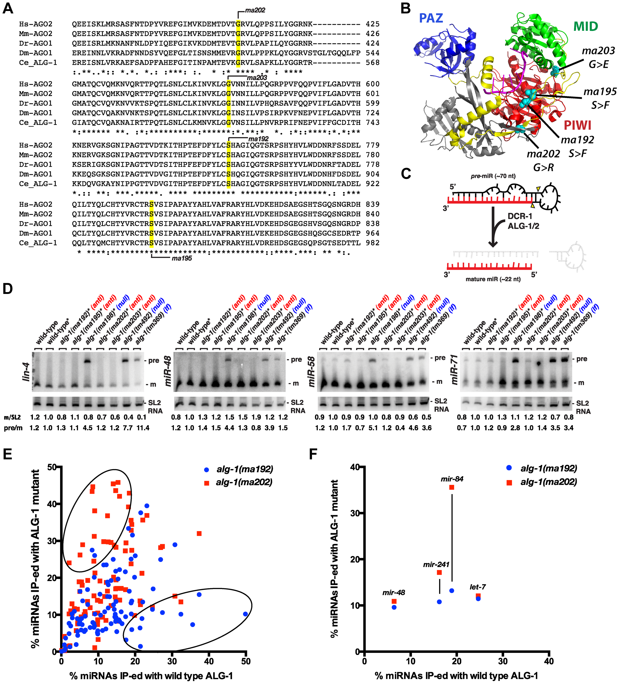 <i>alg-1(anti)</i> alleles affect conserved amino acids within the ALG-1 protein, do not affect pre-microRNA processing, and associate with microRNAs to levels comparable to wild type.