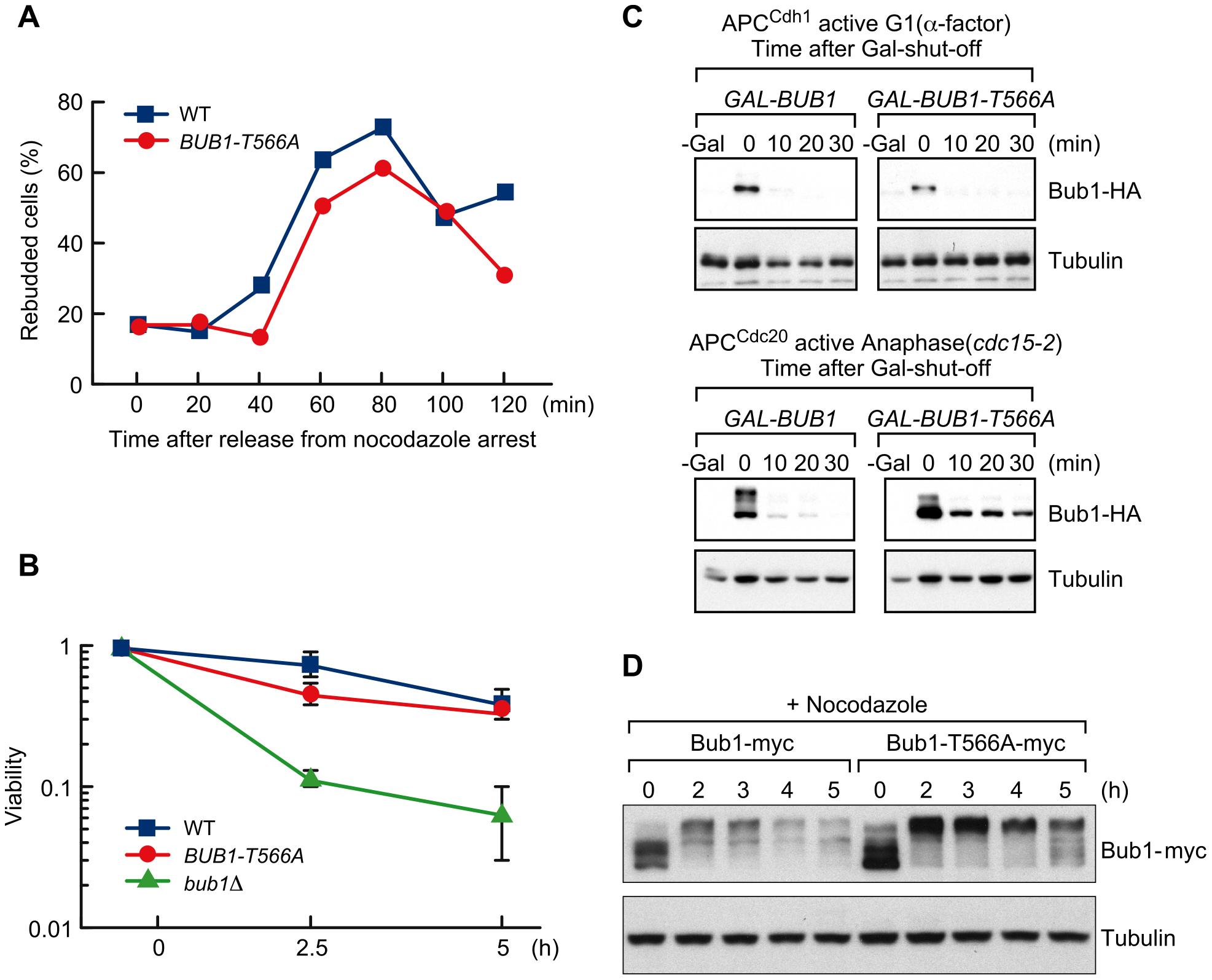 T566 phosphorylation affects Bub1 stability.