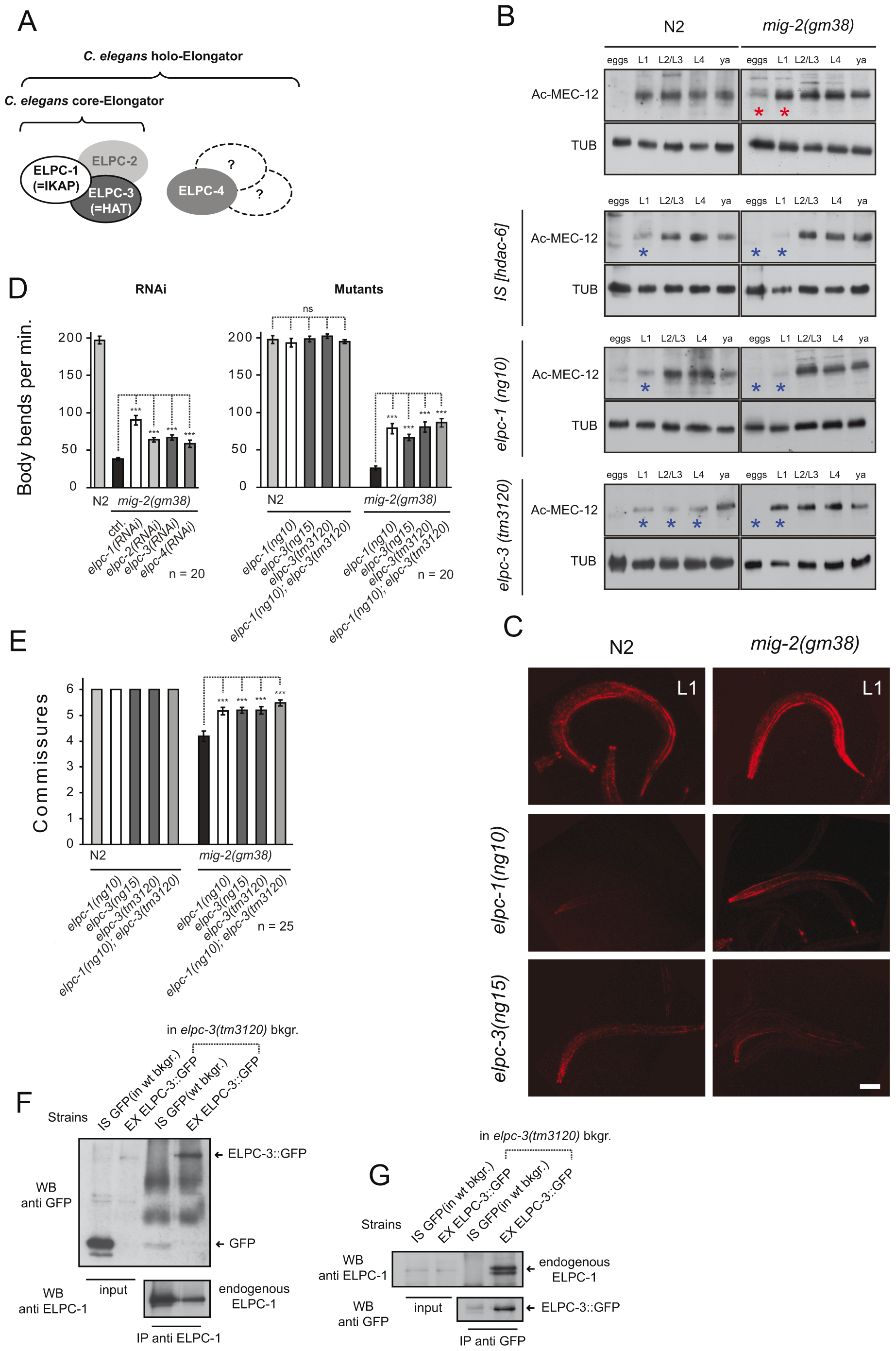 The <i>elongator</i> is required for acetylation of MEC-12/α-tubulin.