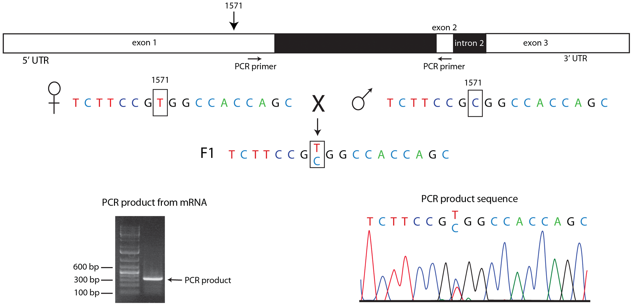 Both homologs express <i>engrailed</i> transcripts in pre-blastoderm embryos.
