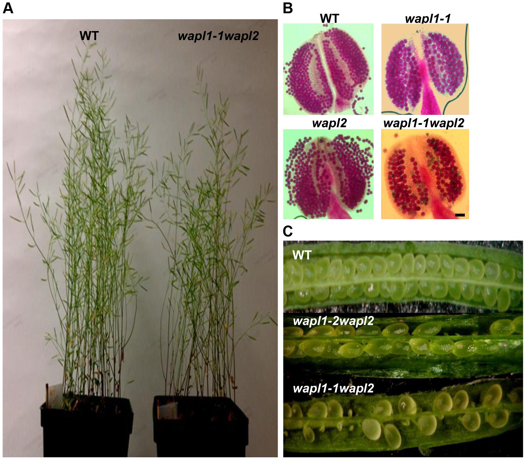 <i>Atwapl1-1wapl2</i> plants exhibit reduced fertility.