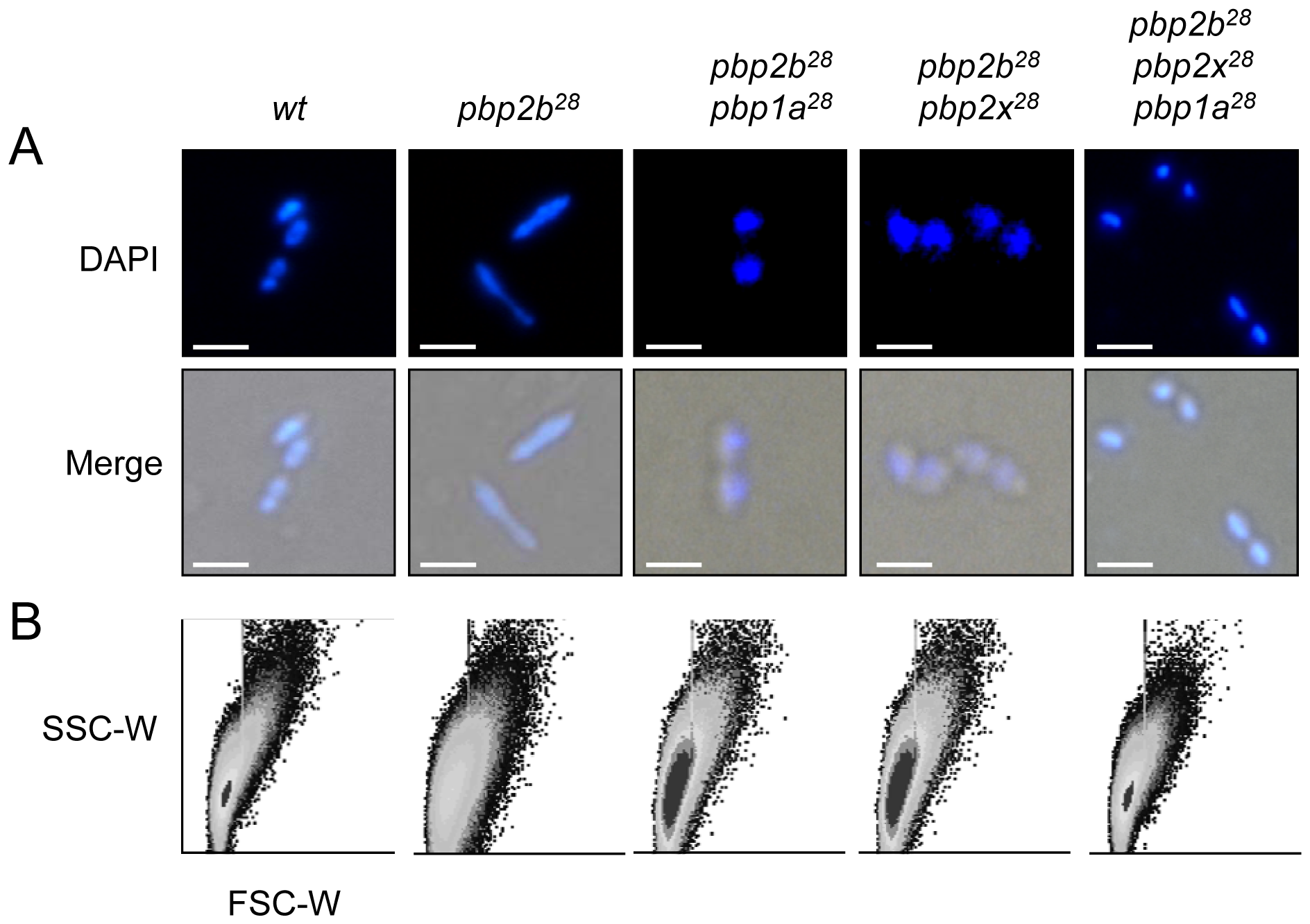 Effect of <i>pbp</i> mutations on cell morphology.