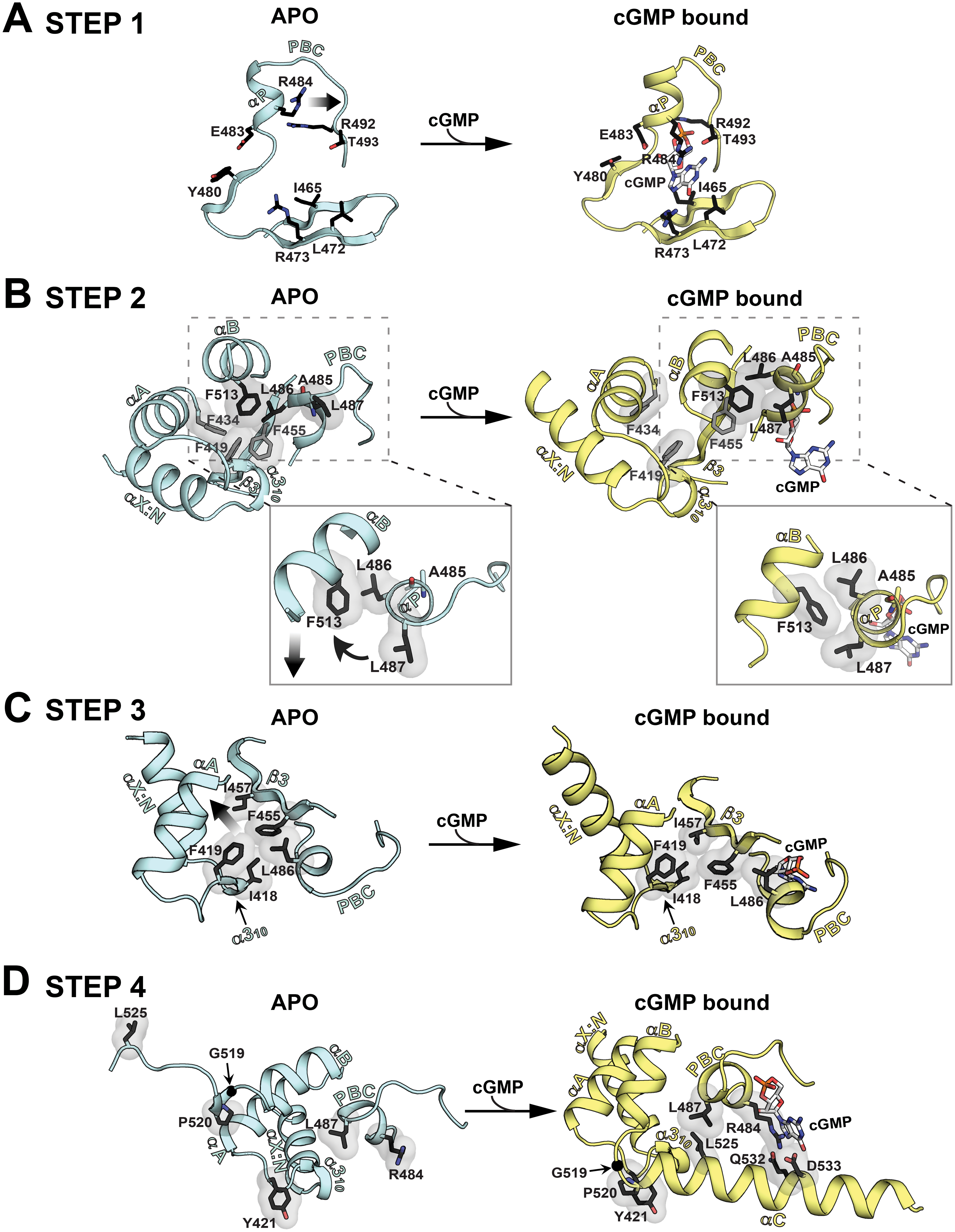 Conformational changes upon cGMP binding.