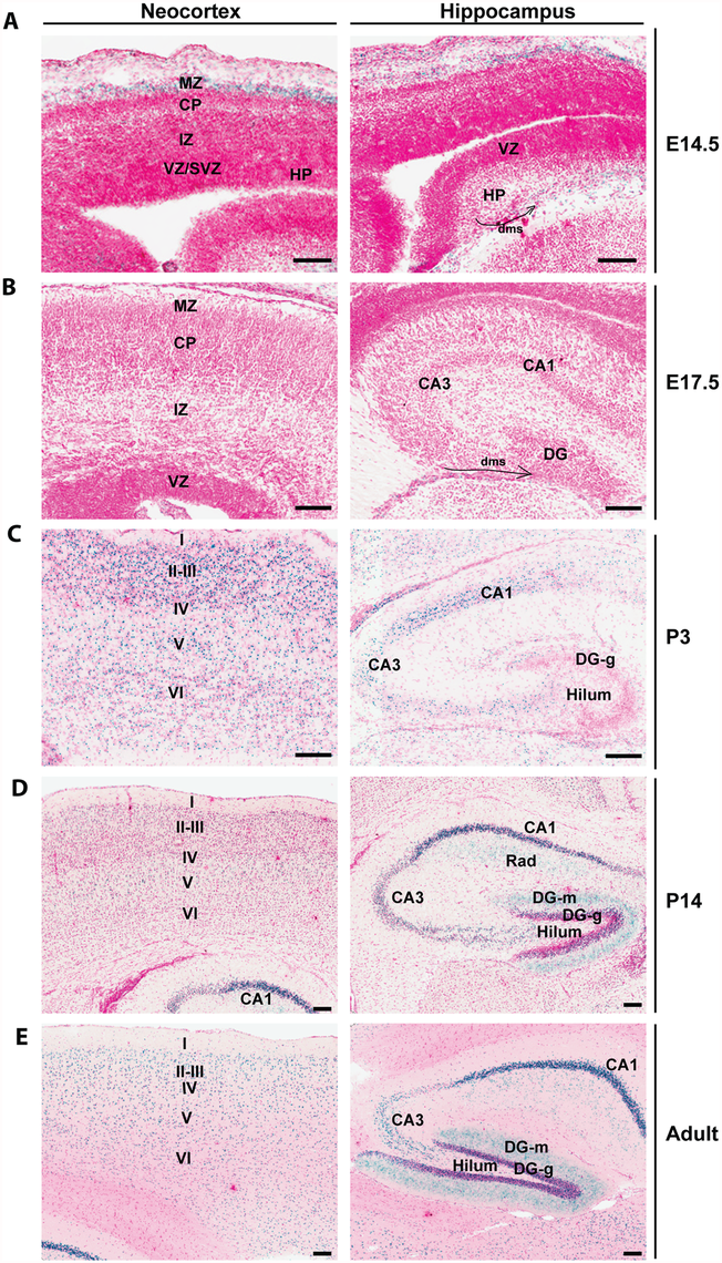 <i>Brpf1</i> expression during forebrain development.