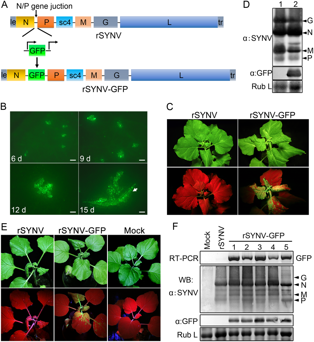 Expression of GFP engineered into rSYNV.