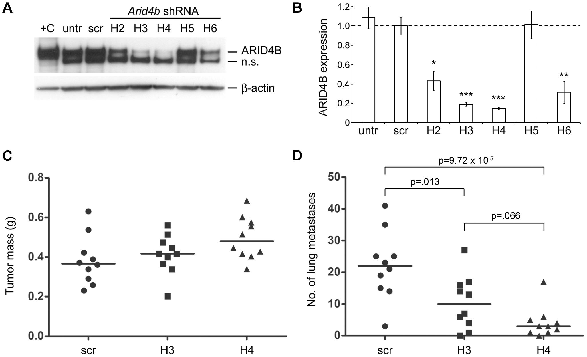 Stable shRNA–mediated knockdown of <i>Arid4b</i> inhibits lung metastasis.