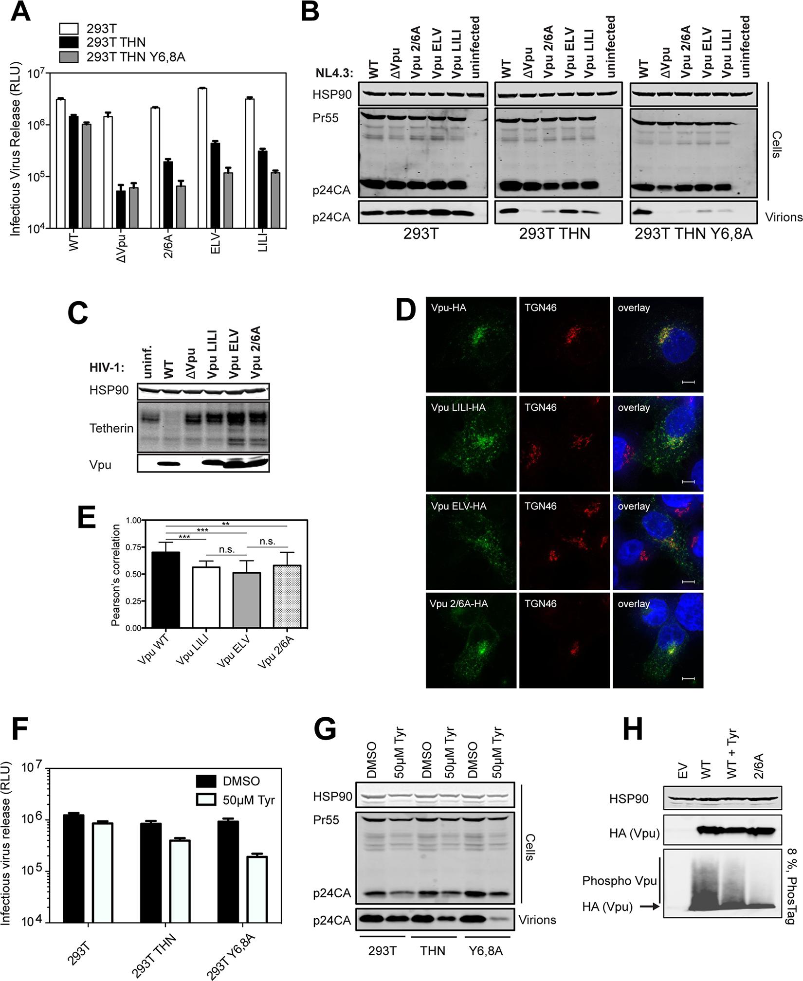 Phosphorylation-defective Vpu phenocopies trafficking mutants.