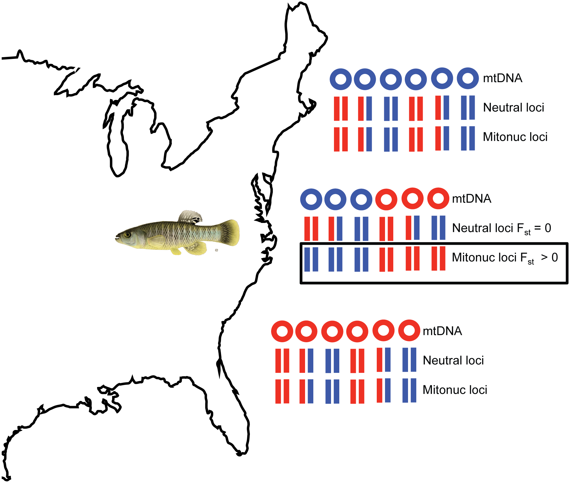 Nonrandom mitonuclear associations in a mixed population.
