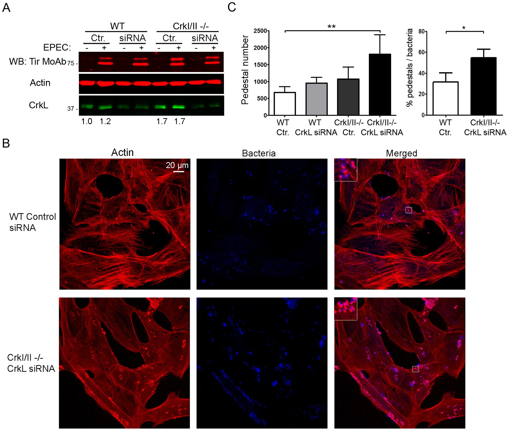 Down-regulation of CrkL expression by siRNA in CrkI/II-deficient MEFs potentiates pedestal formation.