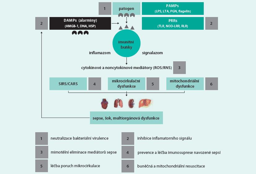 Schéma. Patogeneze sepse a možné léčebné cíle