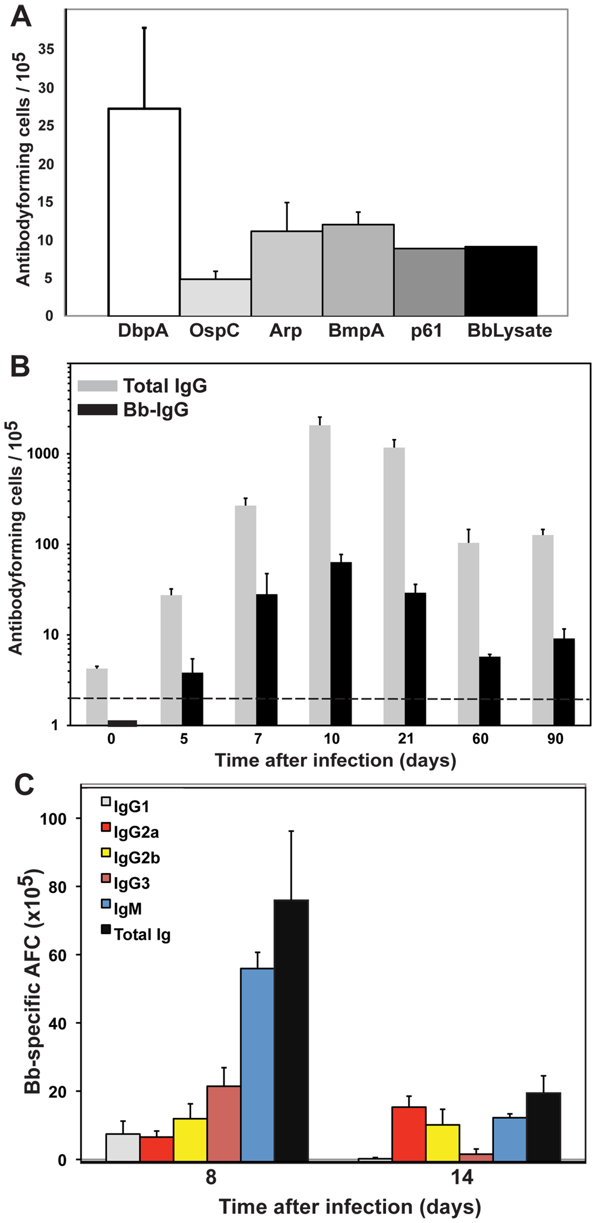 Strong induction of <i>B. burgdorferi</i>-specific antibodies following infection.