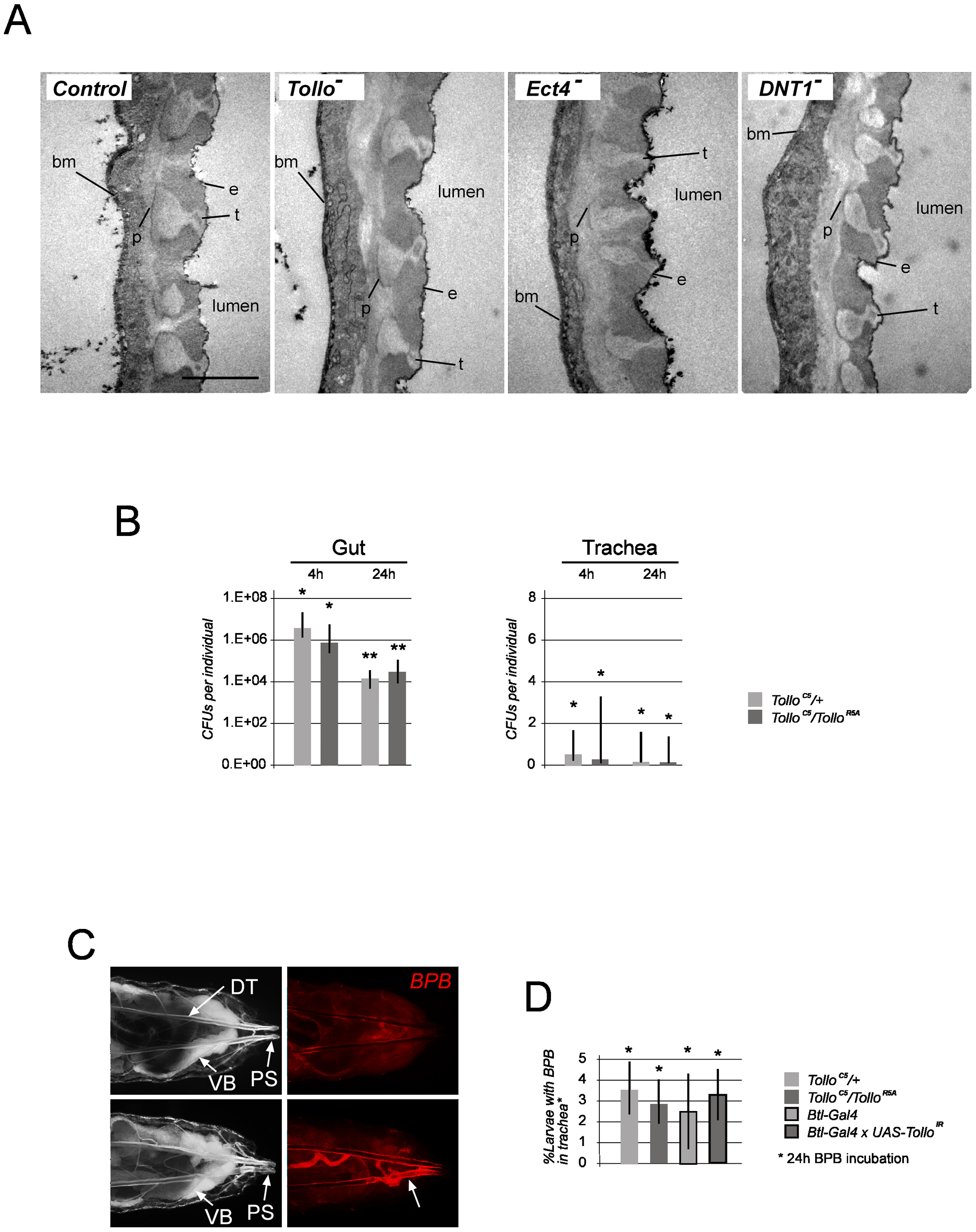 Tracheal morphology, putative immune elicitors and fluid penetration in trachea are not affected by <i>Tollo</i> mutations.