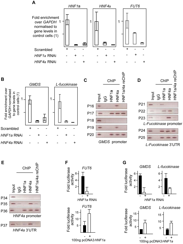 HNF1α is major regulator of fucose synthesis pathway genes.