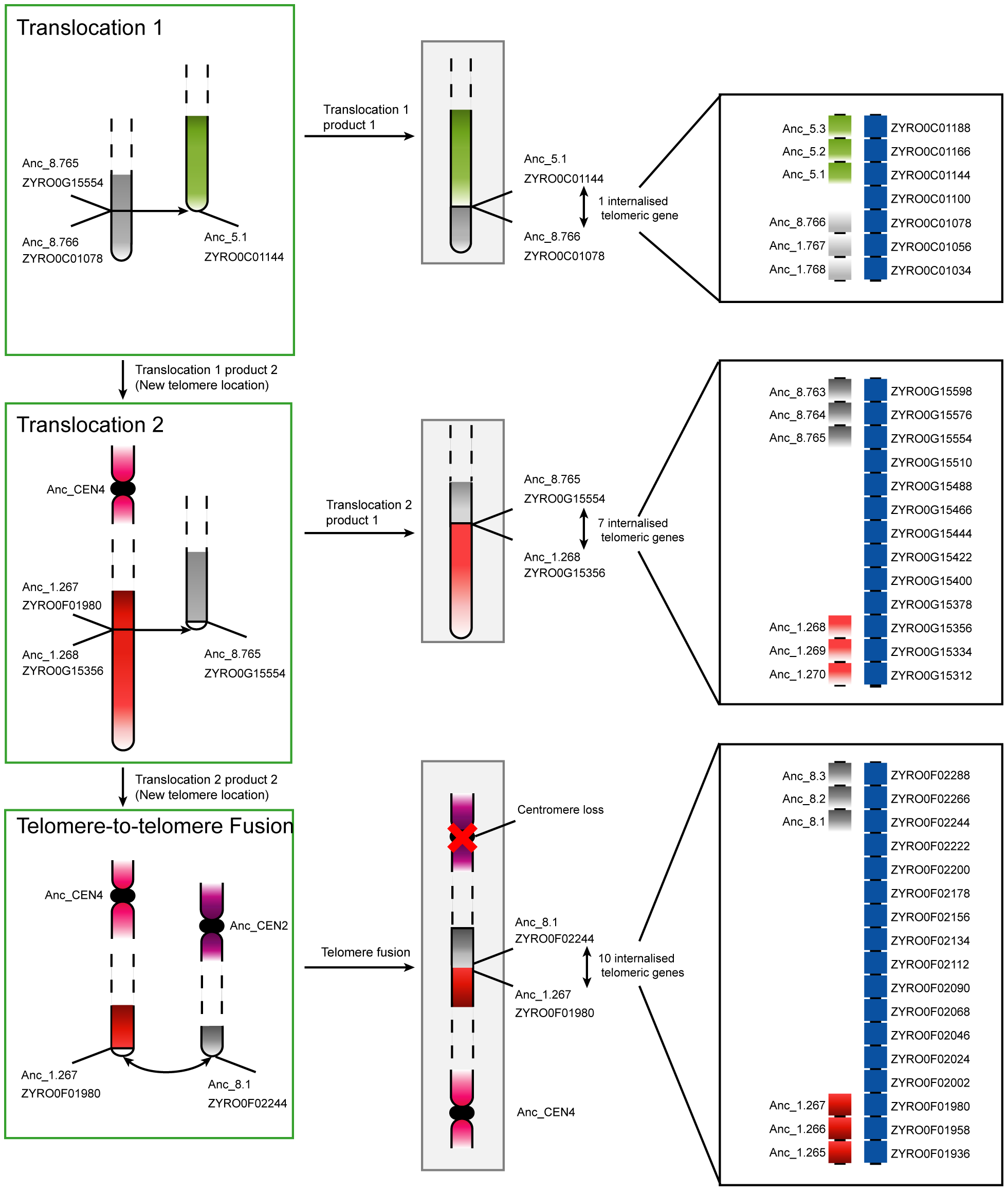 Progression of rearrangements and chromosome fusions leading to the loss of a centromere in <i>Z. rouxii</i>.