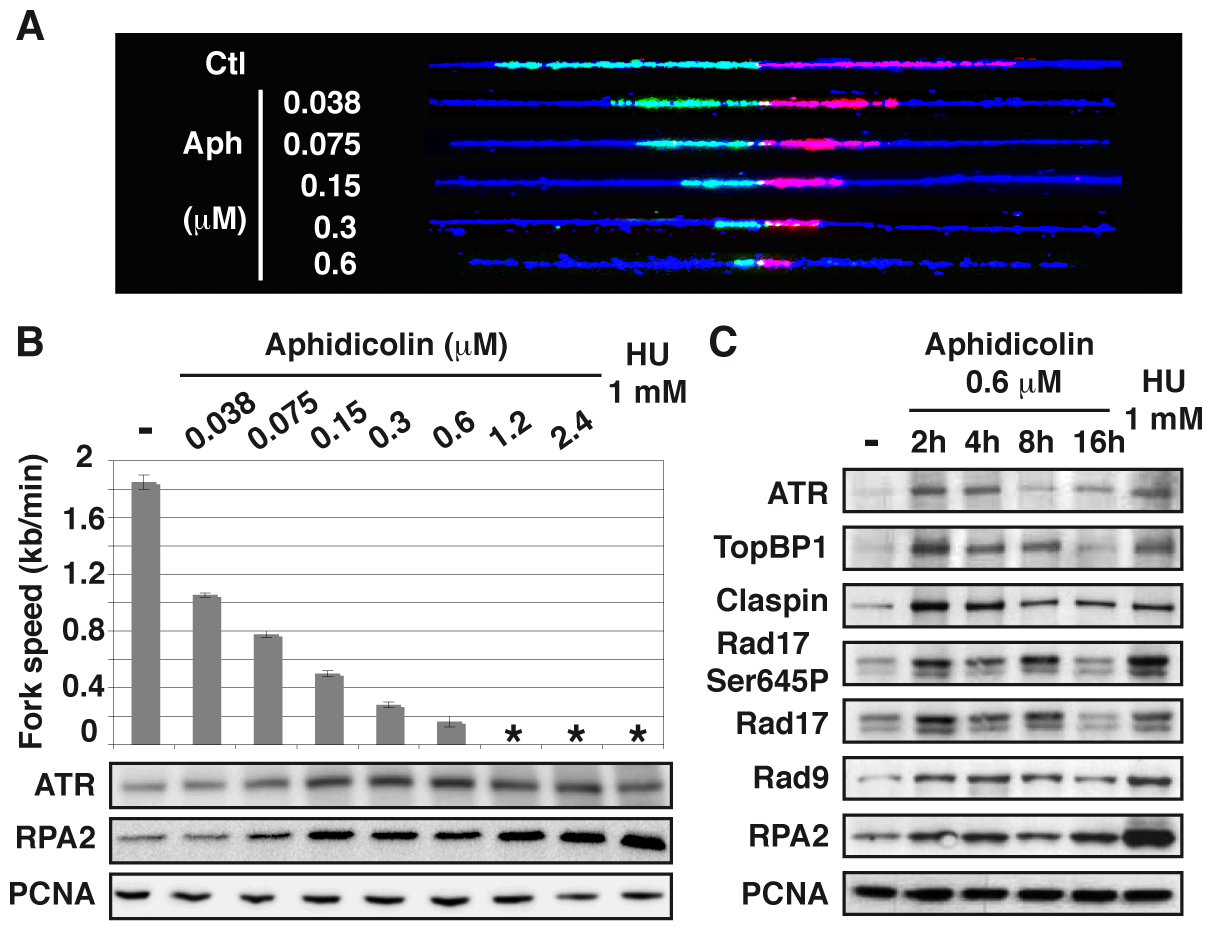 Moderate fork slowing triggers chromatin loading of sensors and mediators of the ATR pathway.
