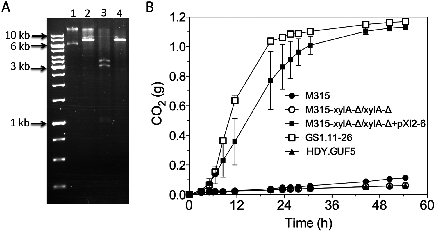 Restriction analysis and xylose fermentation conferring capacity of plasmid pXI2–6.