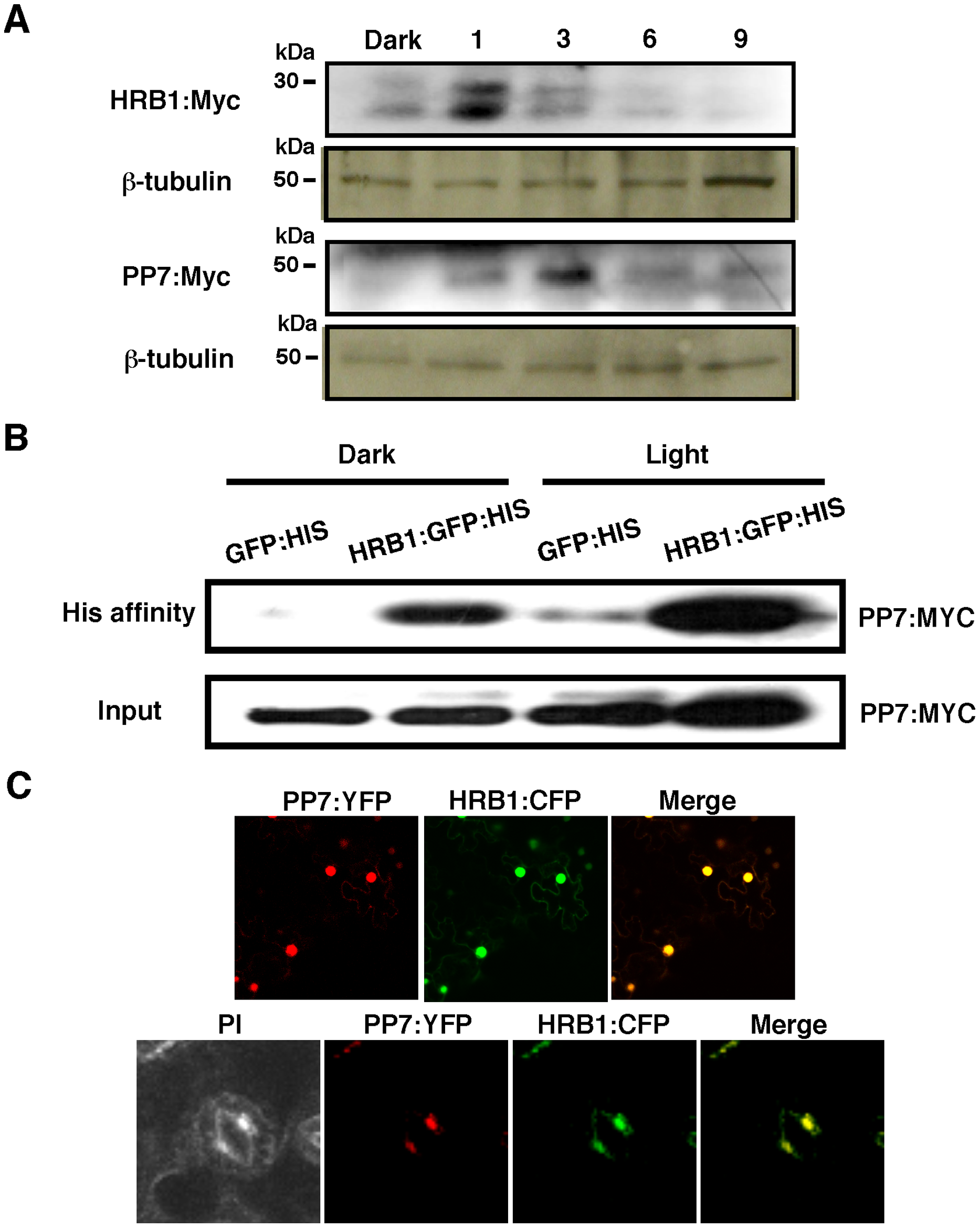 HRB1 interacts with PP7 <i>in vivo</i>.