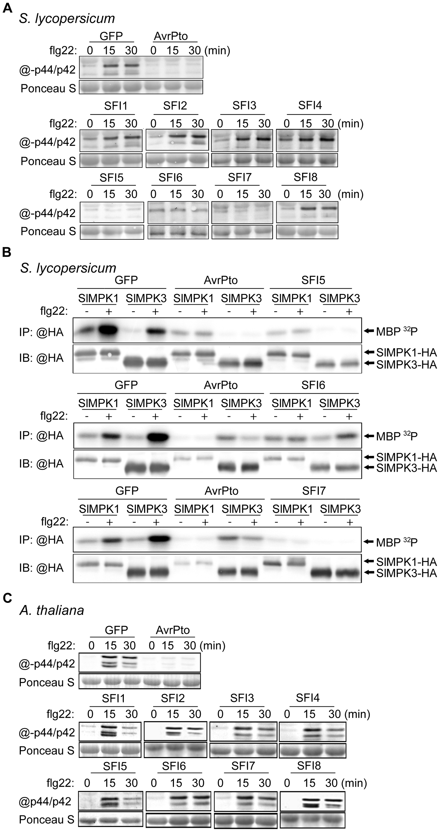 MAP kinase activation upon flg22 treatment in protoplasts expressing SFI effector genes.