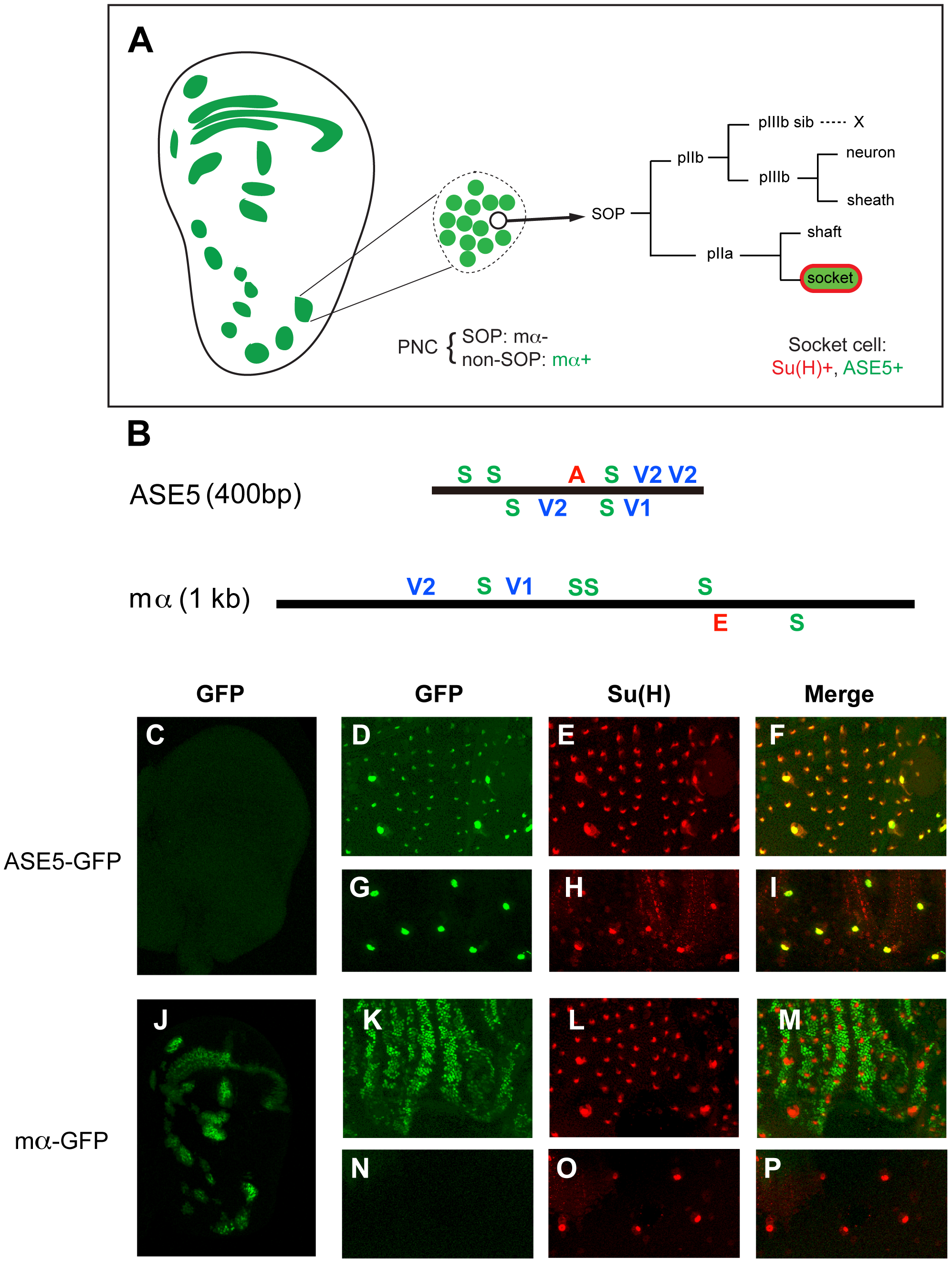 ASE5 and the mα enhancer are active in distinct cell types in development.