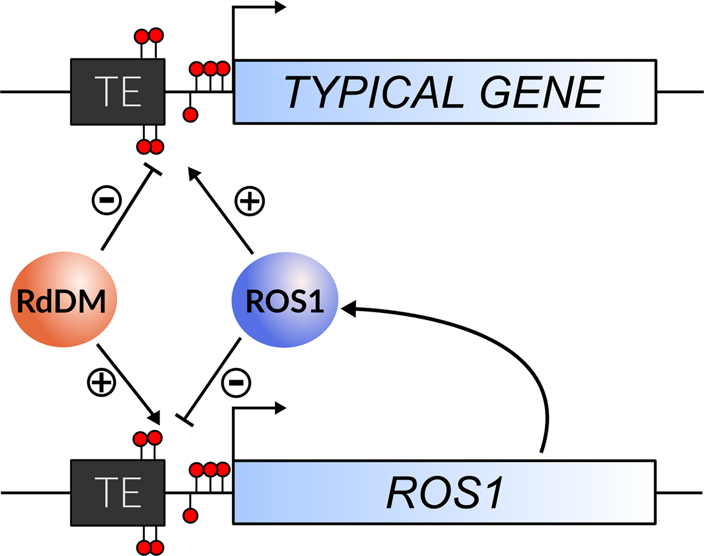 The regulation of <i>ROS1</i> by methylation acts as an epigenetic rheostat.
