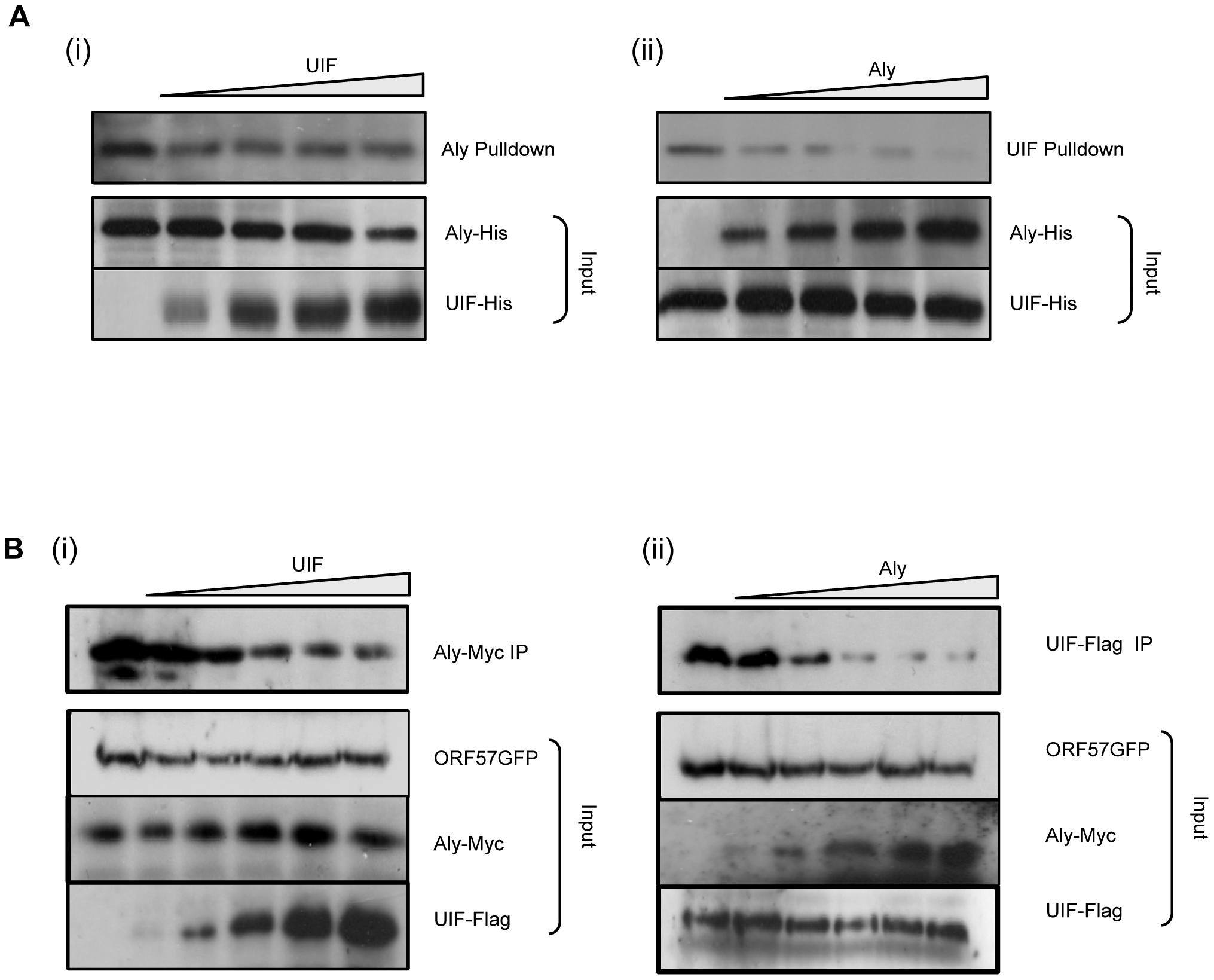 KSHV ORF57 may preferentially bind Aly over UIF.