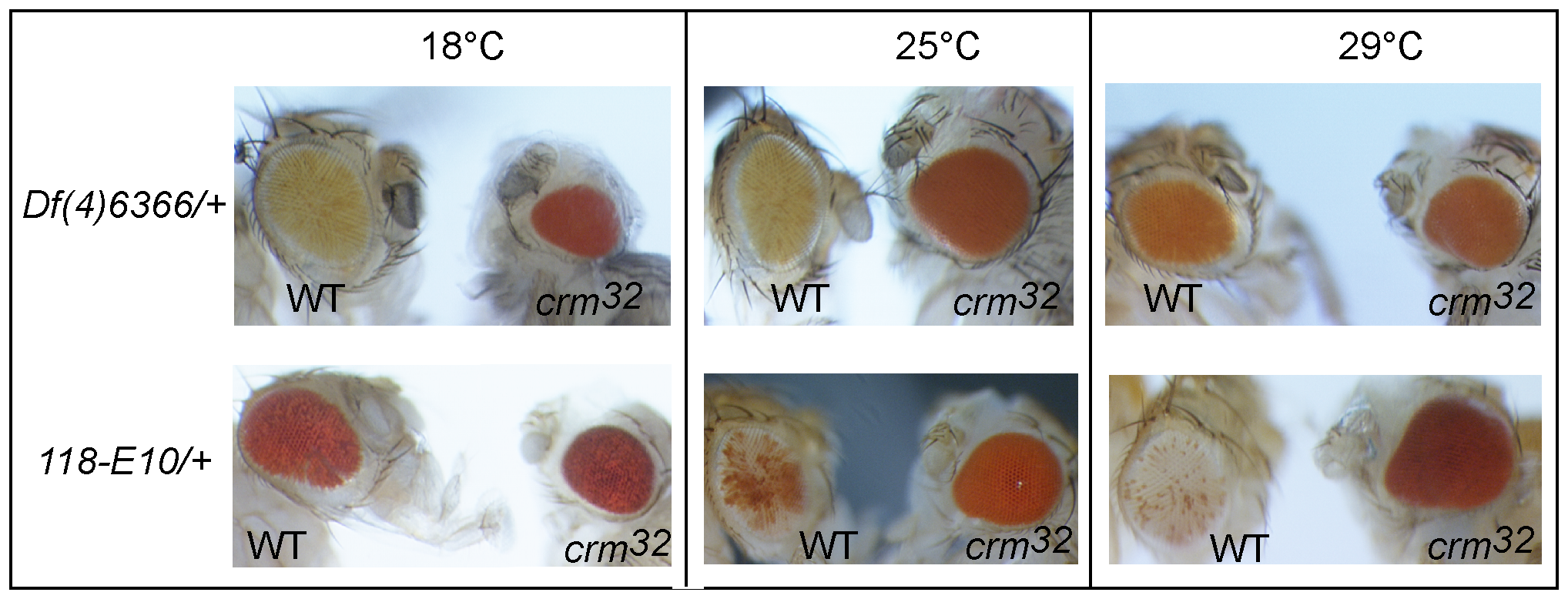 The regulation of the <i>ci-dTcf</i> region is temperature sensitive.