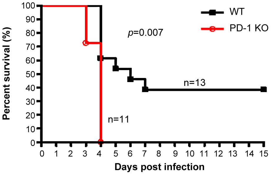 PD-1-deficiency resulted in higher mortality after MHV-3 infection.