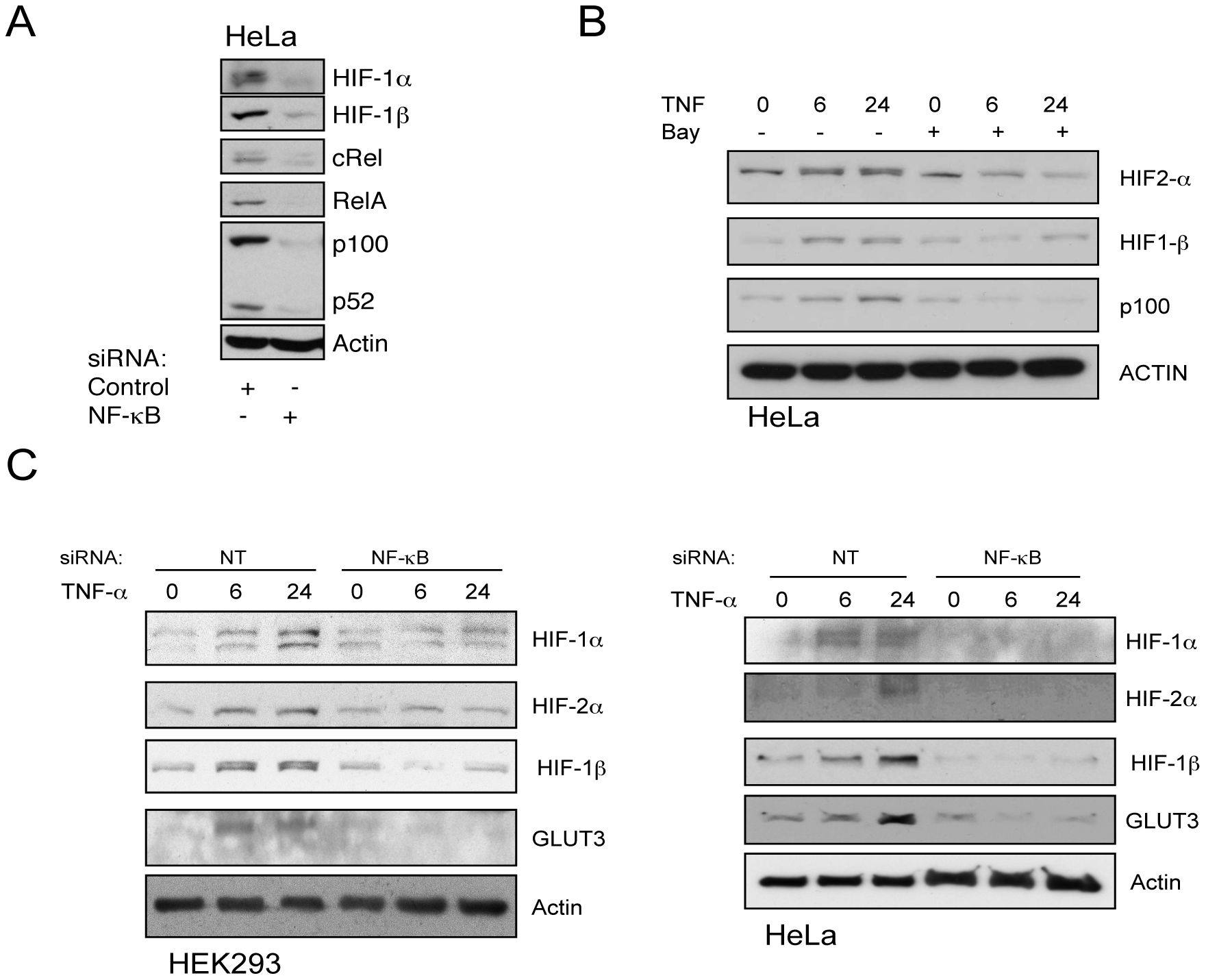 TNF-α–induced HIF-1β and HIF-2α proteins are IKK- and NF-κB–dependent.