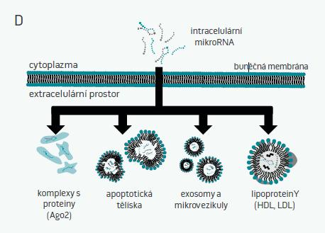 Obr. 1A-D. Základní údaje o mikroRNA <b>A:</b> Základní dogma molekulární biologie vychází z modelu genové exprese probíhající od DNA k RNA do proteinu (střední část obrázku). Kromě RNA, které kódují proteiny, existuje i celá skupina nekódujících RNA, které se zapojují do regulace genové exprese na různých úrovních. Tyto RNA nekódují žádné proteiny a dle délky (hranicí bývá uváděna délka 200 nukleotidů) je dělíme na dlouhé nekódující RNA (lncRNA) a malé nekódující RNA (sncRNA). Jednotlivé skupiny sncRNA se dále dělí dle funkce, obrázek uvádí současně známé skupiny sncRNA. <b>B:</b> mikroRNA zajišťují negativní posttranskripční regulaci genové exprese. Nejprve se naváží na doprovodné argonautové proteiny (nejčastěji Ago-2), čímž vytvoří tzv. miRNA-indukovaný tlumící komplex (miRNA induced silencing complex – miRISC). miRISC se poté váže na cílovou mRNA dle pravidel komplementarity (jednotlivé nukleotidové báze mezi miRNA a mRNA se spojují) a tato vazba buď vyvolá degradaci cílové mRNA nebo zablokuje tuto mRNA pro translaci do bílkovin. V obou případech dojde ke snížení hladin bílkoviny, kterou daná mRNA kóduje. <b>C:</b> Komplexnost regulace pomocí mikroRNA je dána jejich funkční abundancí – jedna miRNA často cílí na více mRNA a jedna molekula mRNA může být cílem řady různých miRNA. miR-33, nezbytná pro metabolizmus cholesterolu, mastných kyselin a glukózy cílí na více než 10 různých mRNA a jednou z nich je i mRNA kódující přenašečový protein ABCA1 (přenašeč zajišťující transport  holesterolu z buněk do lipoproteinových částic o vysoké hustotě), který je zároveň cílem více než 10 dalších známých miRNA. <b>D:</b> Extracelulární (též cirkulující) mikroRNA nacházíme v extracelulárním prostoru (krvi, moči, potu, slinách, intersticiální tekutině apod). Do tohoto prostoru jsou aktivně secernovány nebo se do něj uvolňují vlivem nekrózy/apoptózy buněk. V extracelulárním prostoru jsou vysoce stabilní, což je zajištěno tím, že: • jsou v komplexu s RNA-vazebnými proteiny (např.