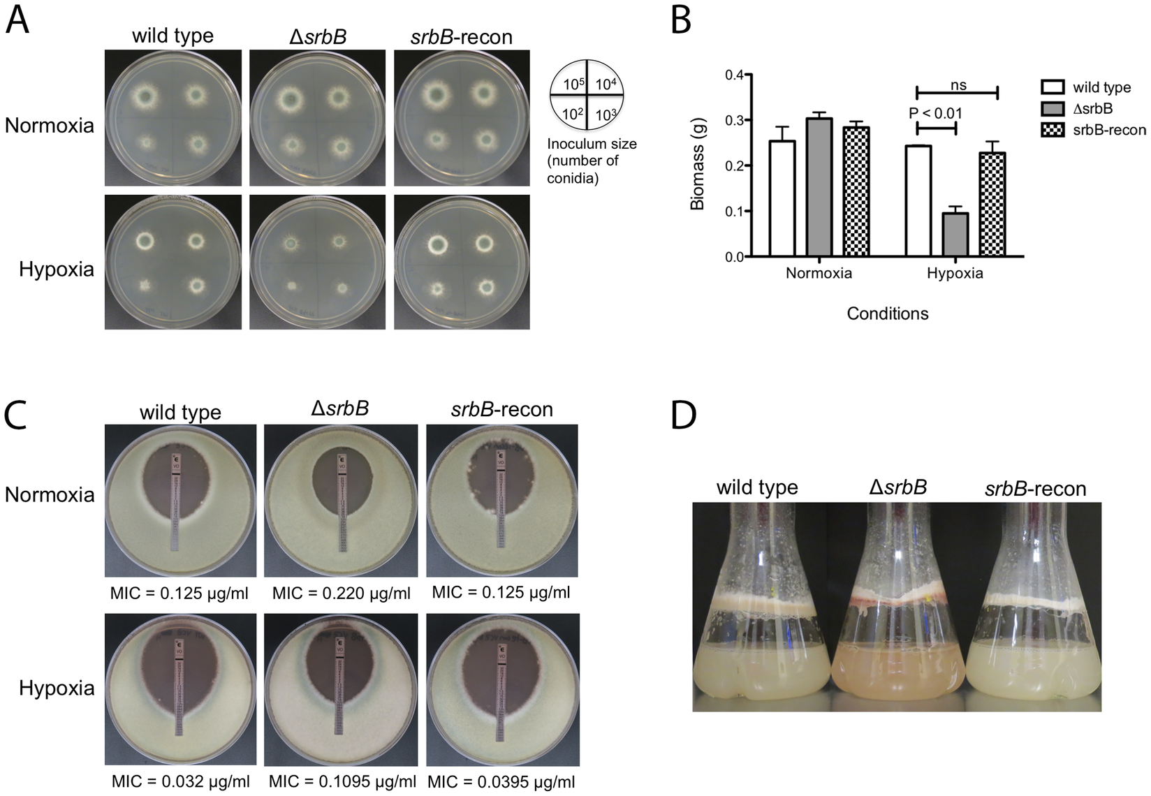 Loss of the Hypoxia Induced Transcriptional Regulator SrbB Results in a Significant Growth Defect and Red Pigmented Mycelia in Hypoxia.