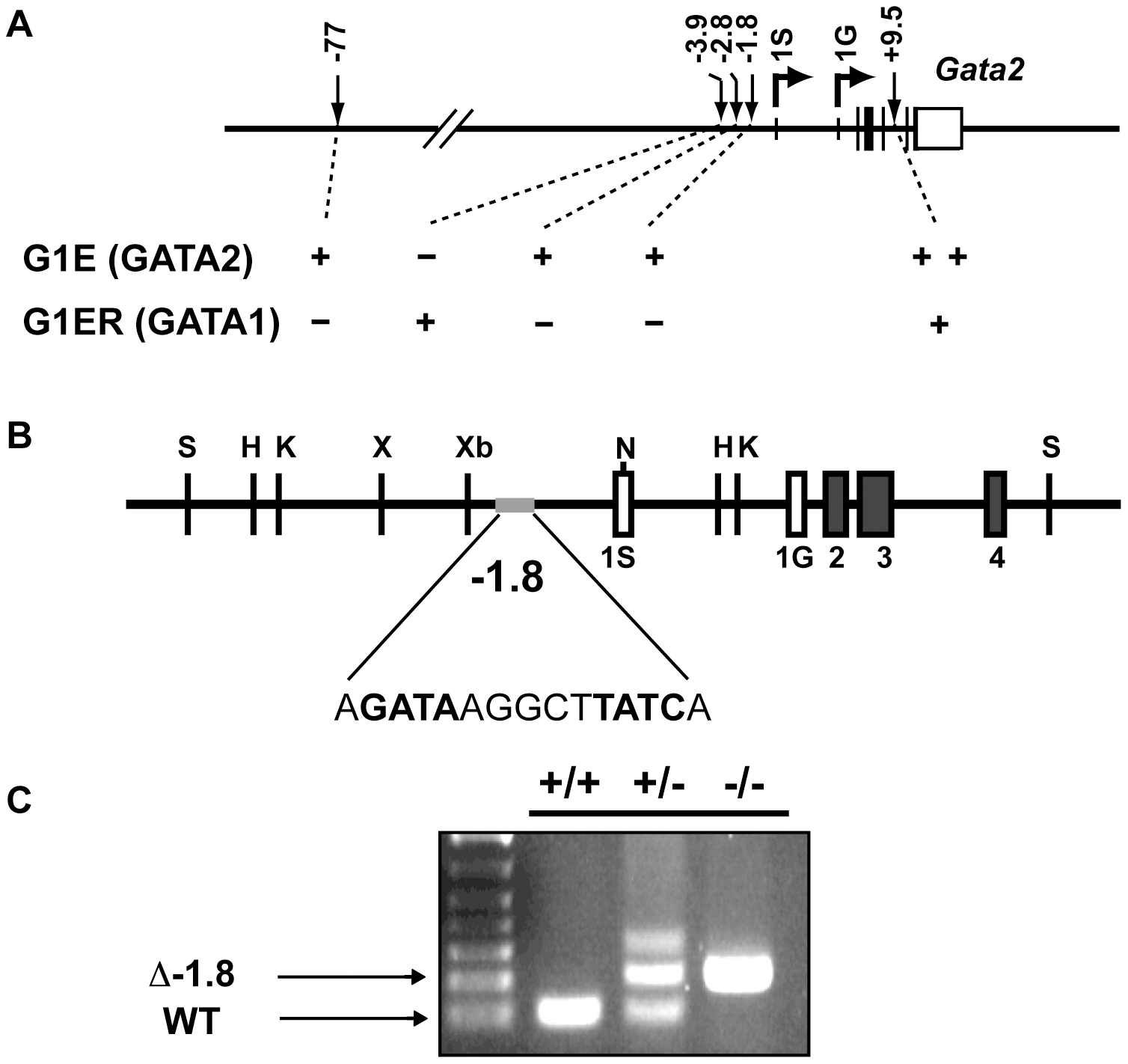 Generation of mice lacking the −1.8 kb site of the <i>Gata2</i> locus.
