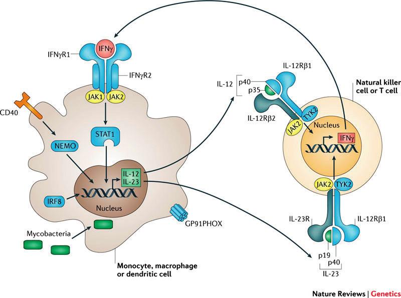 Signalizační osa IL12–IL23/IFNγ, modře jsou zvýrazněny kauzální defekty MSMD (převzato z Human genetic susceptibility to infectious disease, Stephen J. Chapman & Adrian V. S. Hill, Nature Reviews Genetics 2012 March; 13: 175–188). Fig. 1. IL12–IL23/IFNγ signalling pathways. Causative MSMD defects are shown in blue (Human genetic susceptibility to infectious disease, Stephen J. Chapman & Adrian V. S. Hill, Nature Reviews Genetics 2012 March; 13: 175–188).