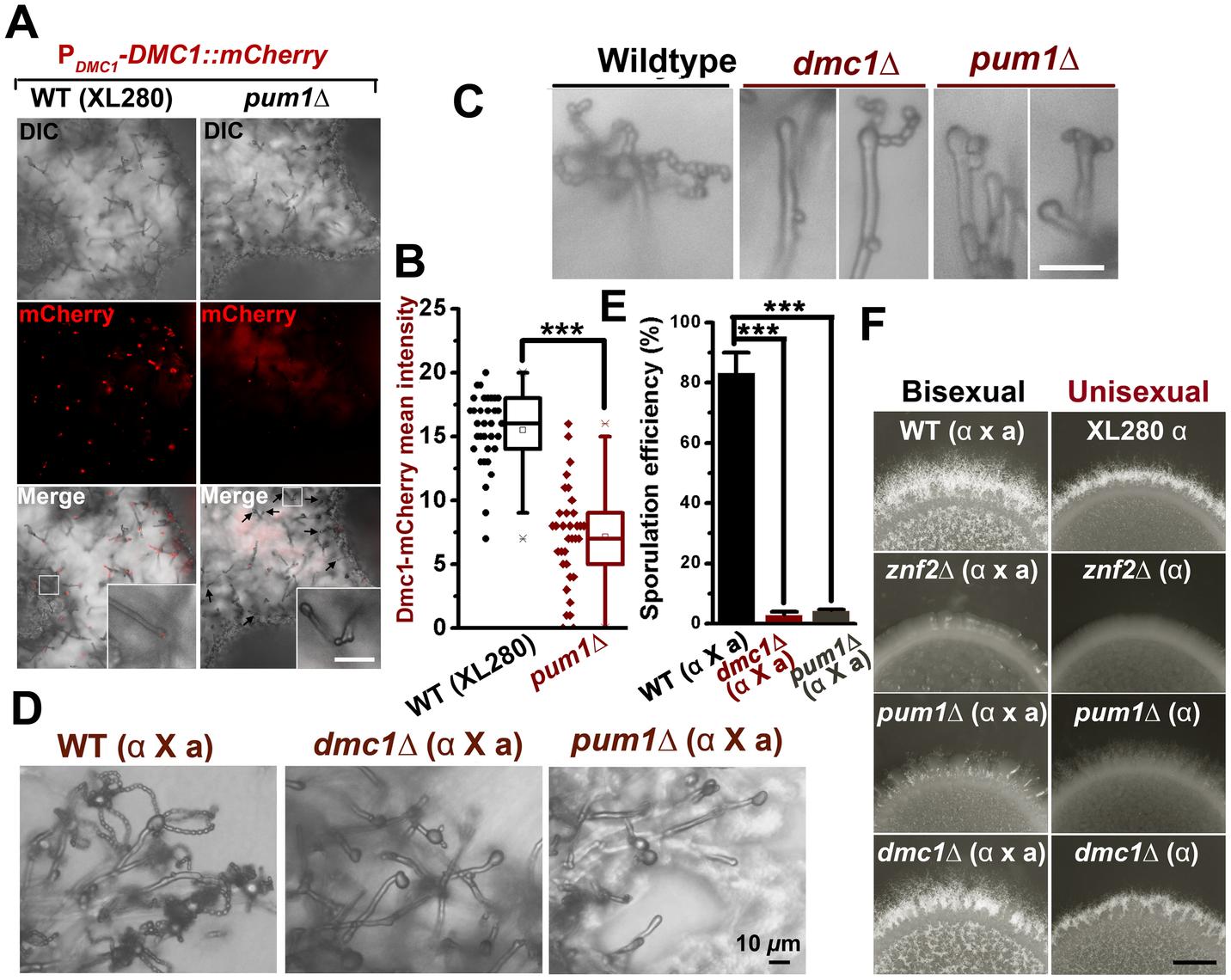 Pum1 coordinates filamentation and sexual reproduction.