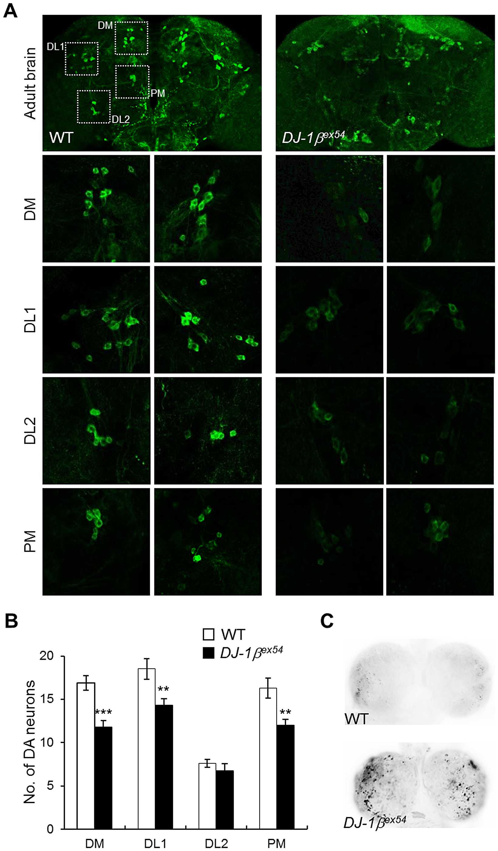 Decreased DA neurons and increased apoptosis in <i>DJ-1β</i> mutant under oxidative stress conditions.