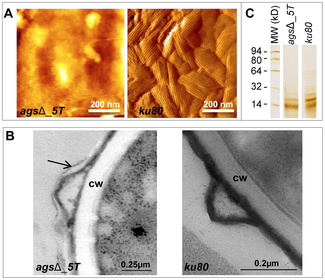 Surface analysis of resting conidia of <i>ags</i>Δ_<i>5T</i> mutant and parental (<i>ku80</i>) strains.