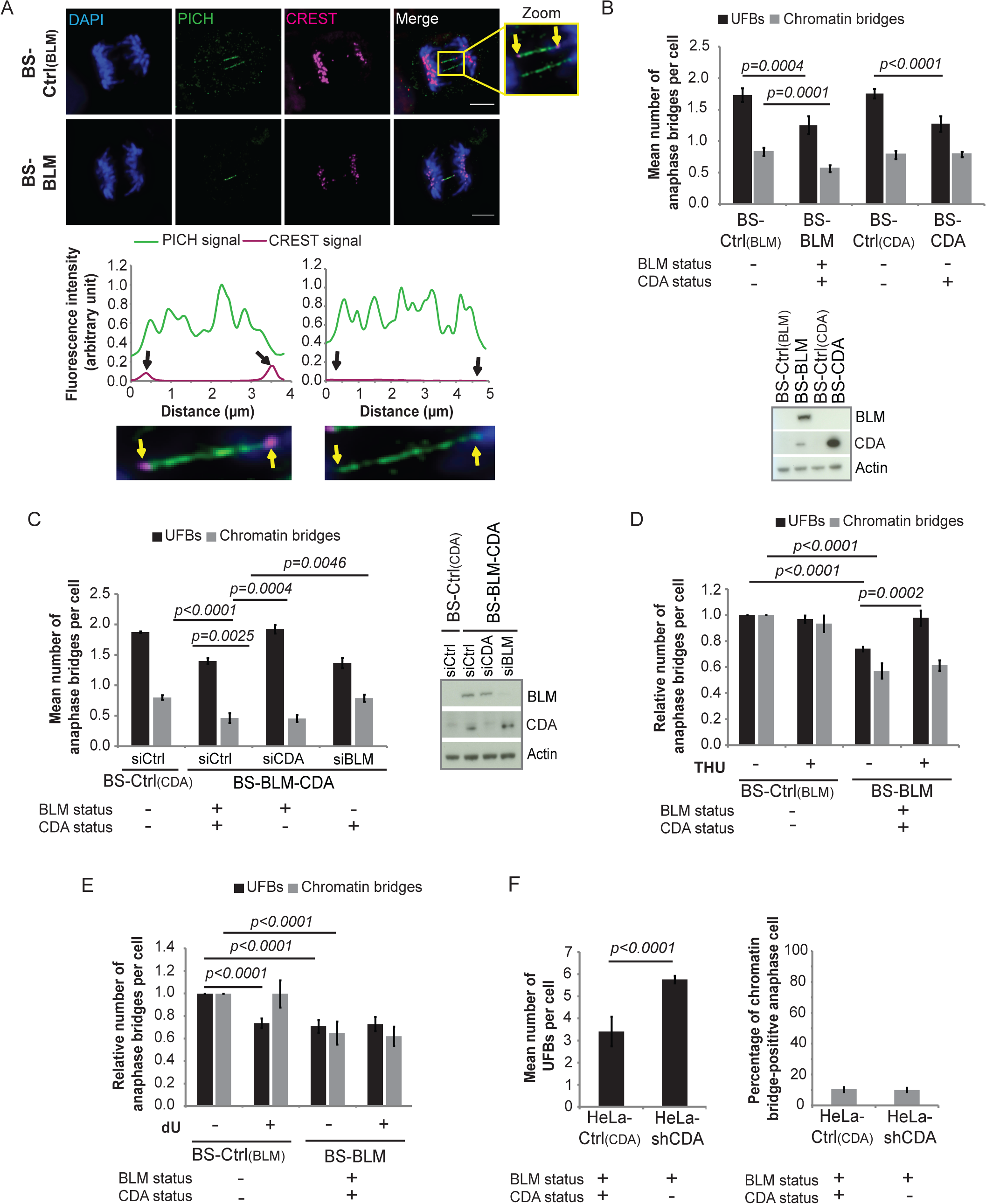 CDA prevents supernumerary UFB formation in BS cells and in cells expressing BLM.