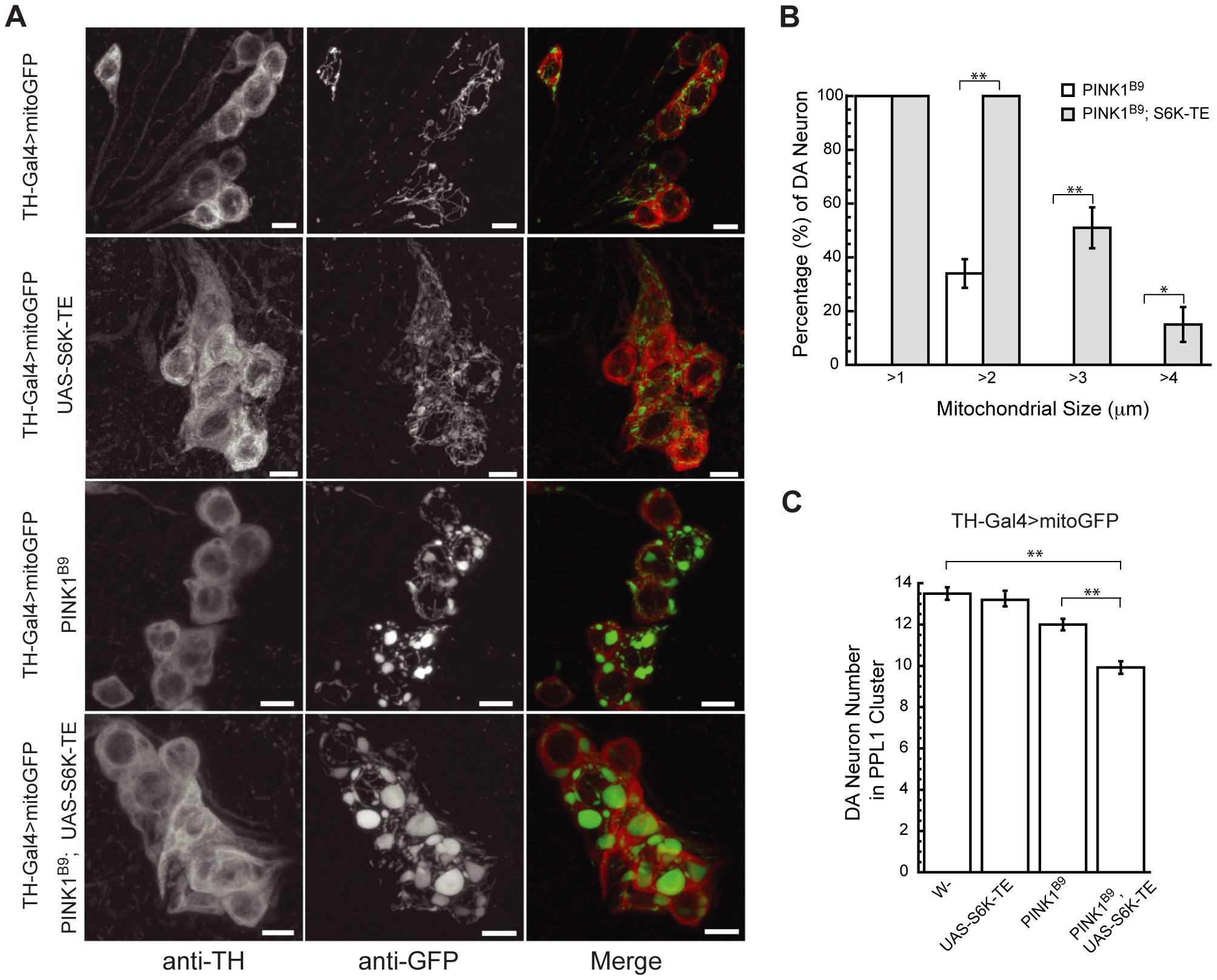 Constitutively active S6K increases mitochondrial aggregation and DA neuron loss in <i>PINK1</i> mutants.