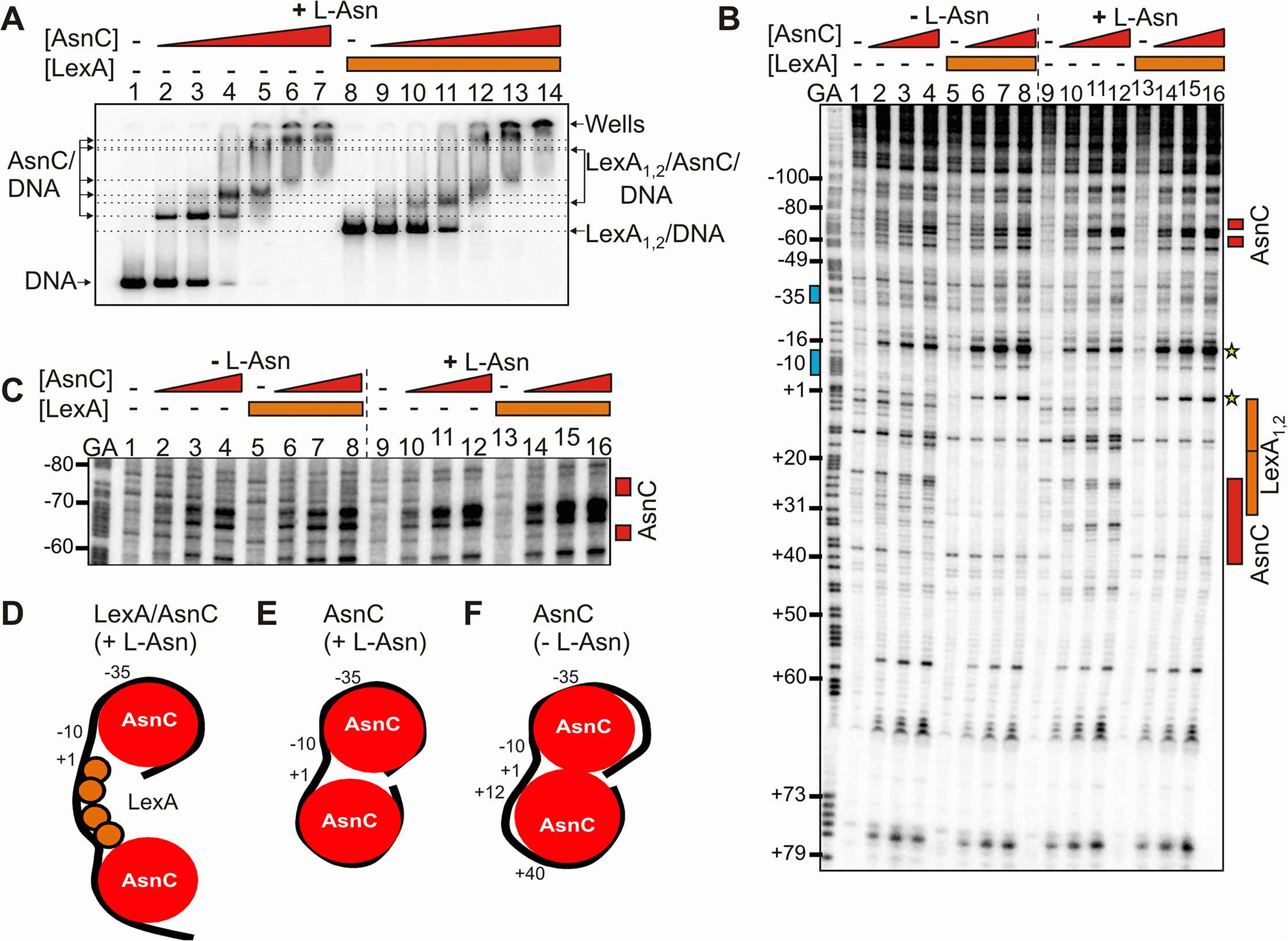 LexA and AsnC can bind to <i>cea8</i> promoter region simultaneously.