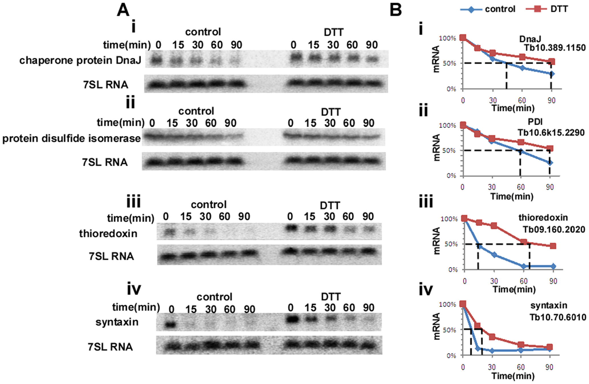 ER-stress response regulates the half-life of mRNAs.