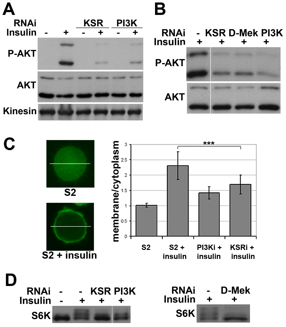 Impaired insulin signaling activation upon MAPK/ERK inhibition.