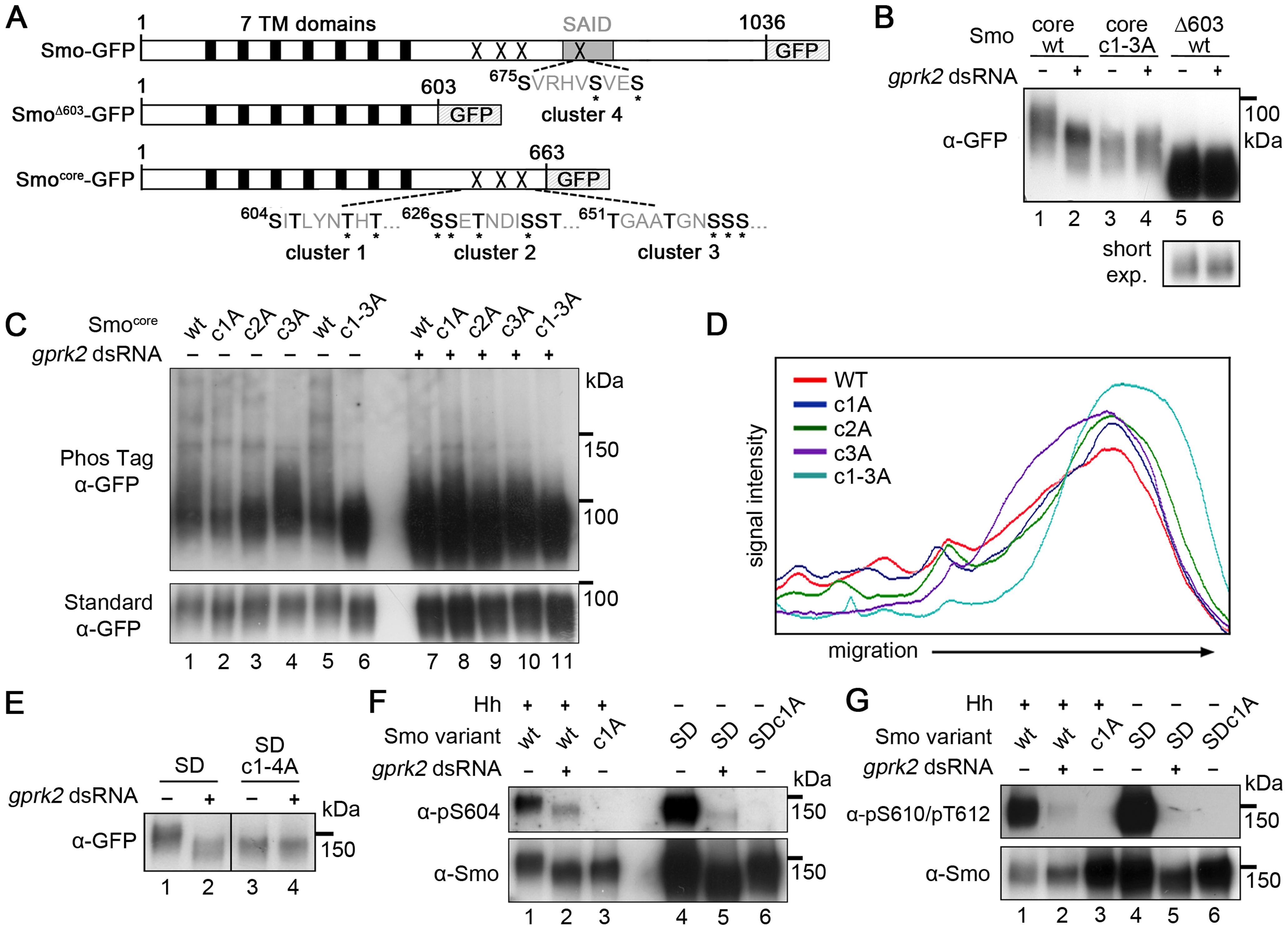 Mapping of Gprk2 phosphorylation sites.